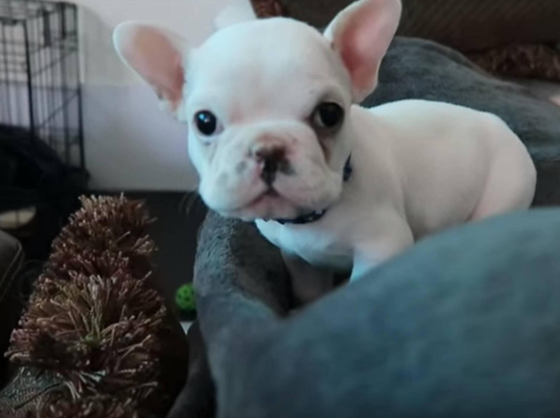 """""""Hallöööchen!"""" Französische Bulldogge Lincoln im neuen Zuhause – Bild: YouTube / Sean Sarantos"""