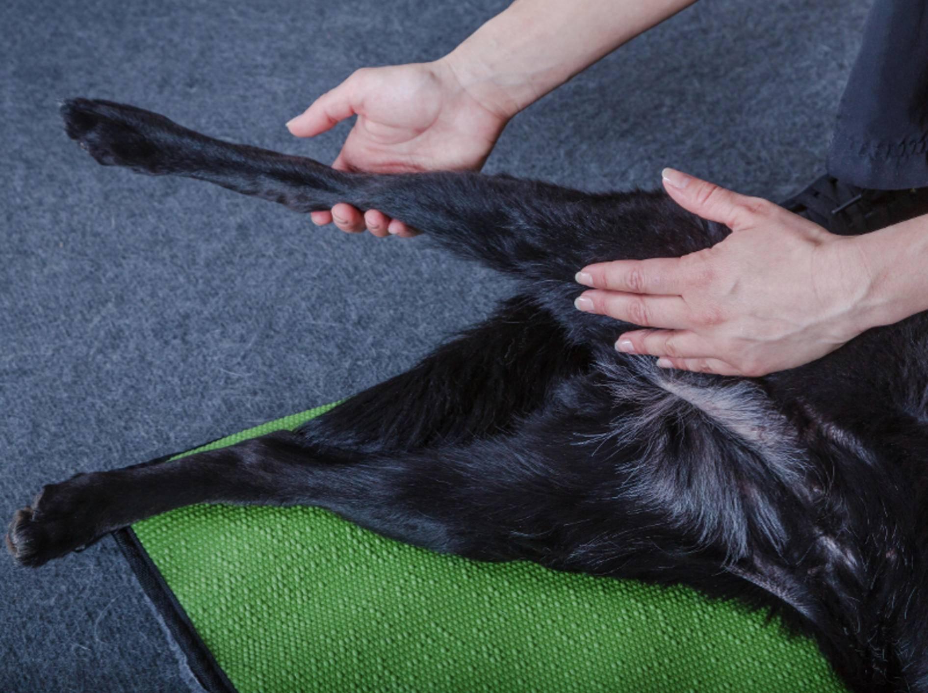 Die Anwendungsgebiete der Hundephysio sind weit gefasst – Shutterstock / msgrafixx