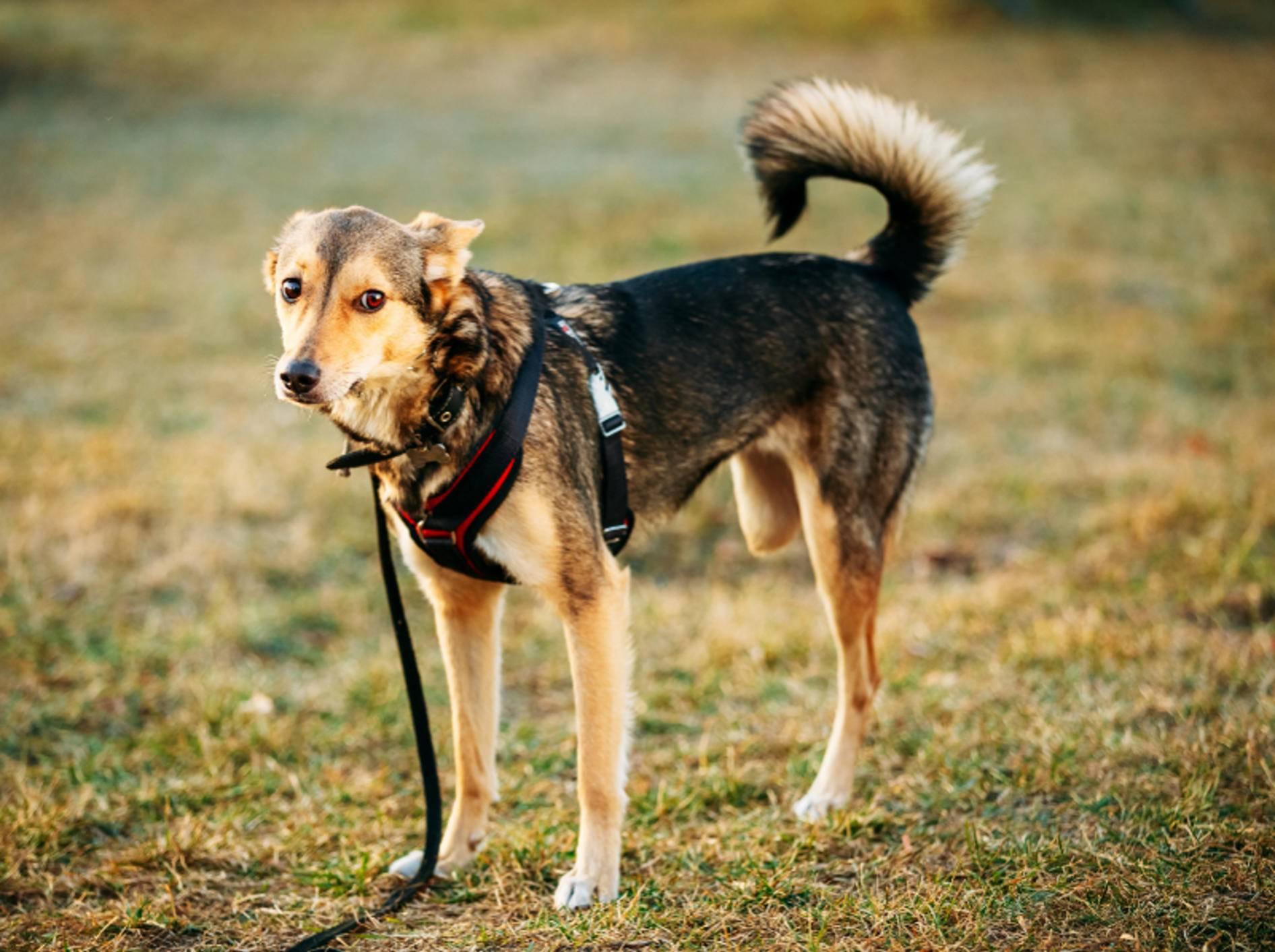 Viele Hunde können gut mit drei Beinen leben. Manchmal ist eine Prothese jedoch notwendig – Shutterstock / Grisha-Bruev