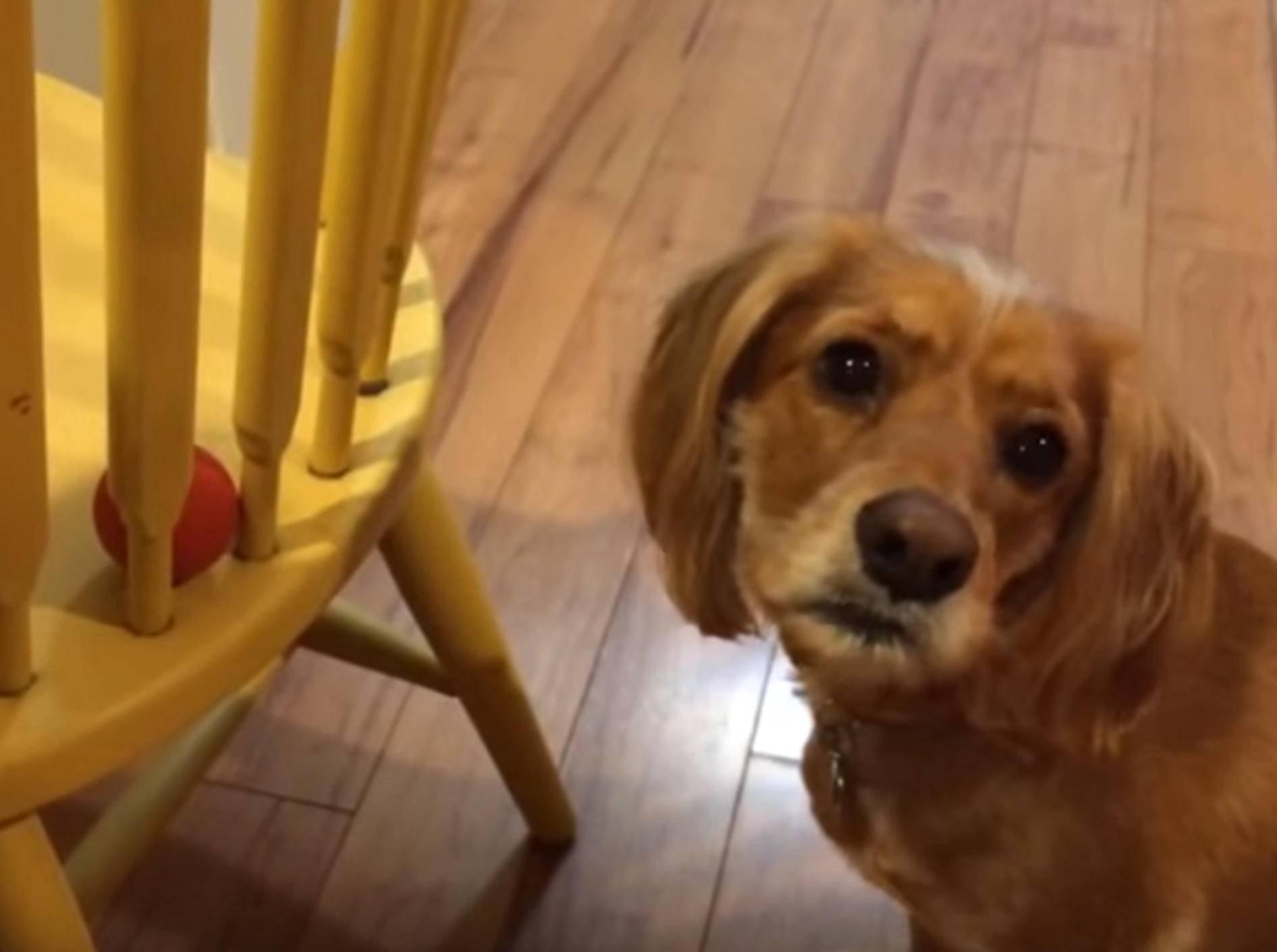"""""""Verflixt, hilf mir doch!"""" Hund versucht, Ball zu schnappen – Bild: YouTube / The Pet Collective"""