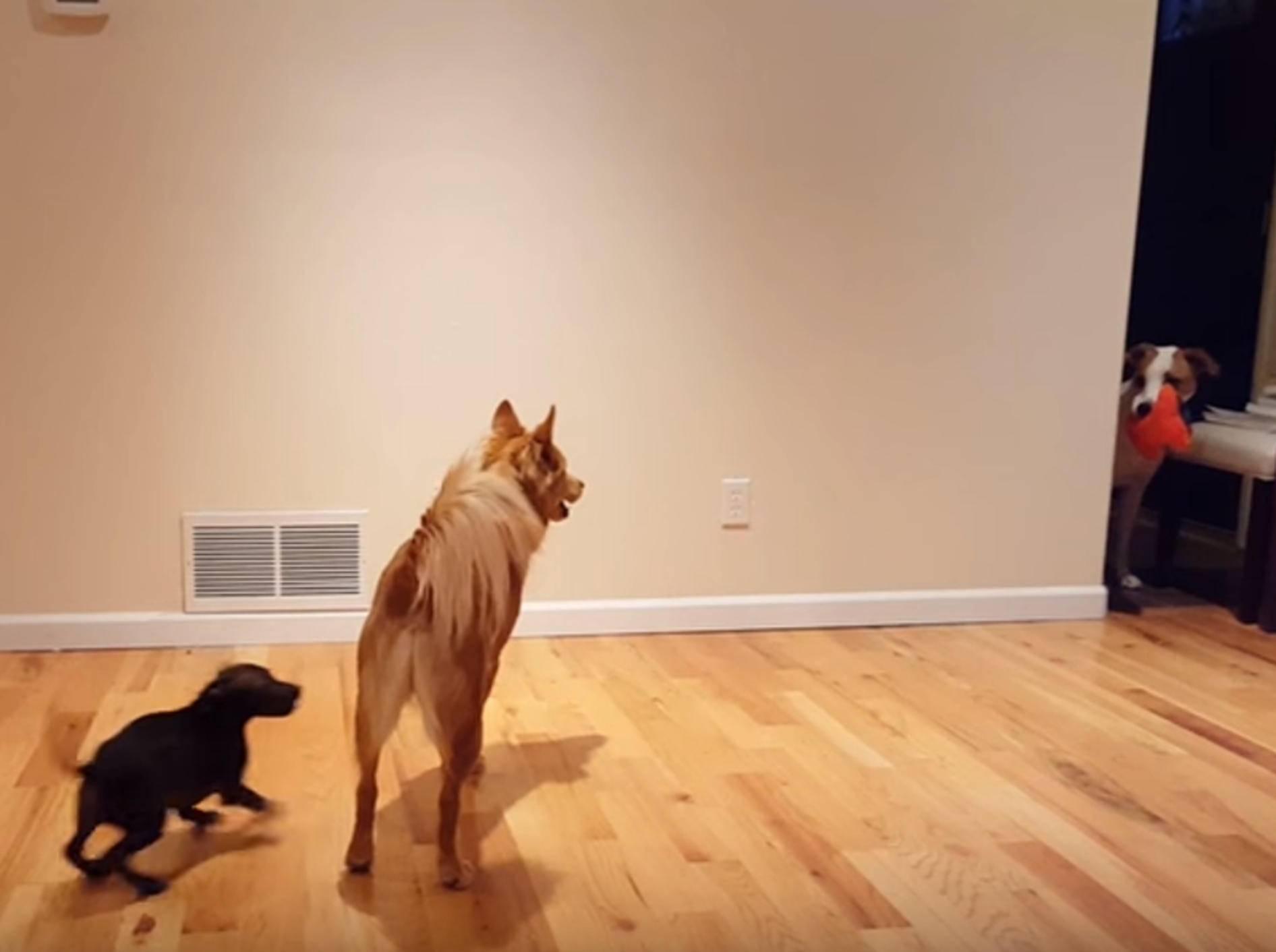 """""""Meiiiins!"""" Hund will Spielzeug nicht teilen – Bild: YouTube / The Pet Collective"""