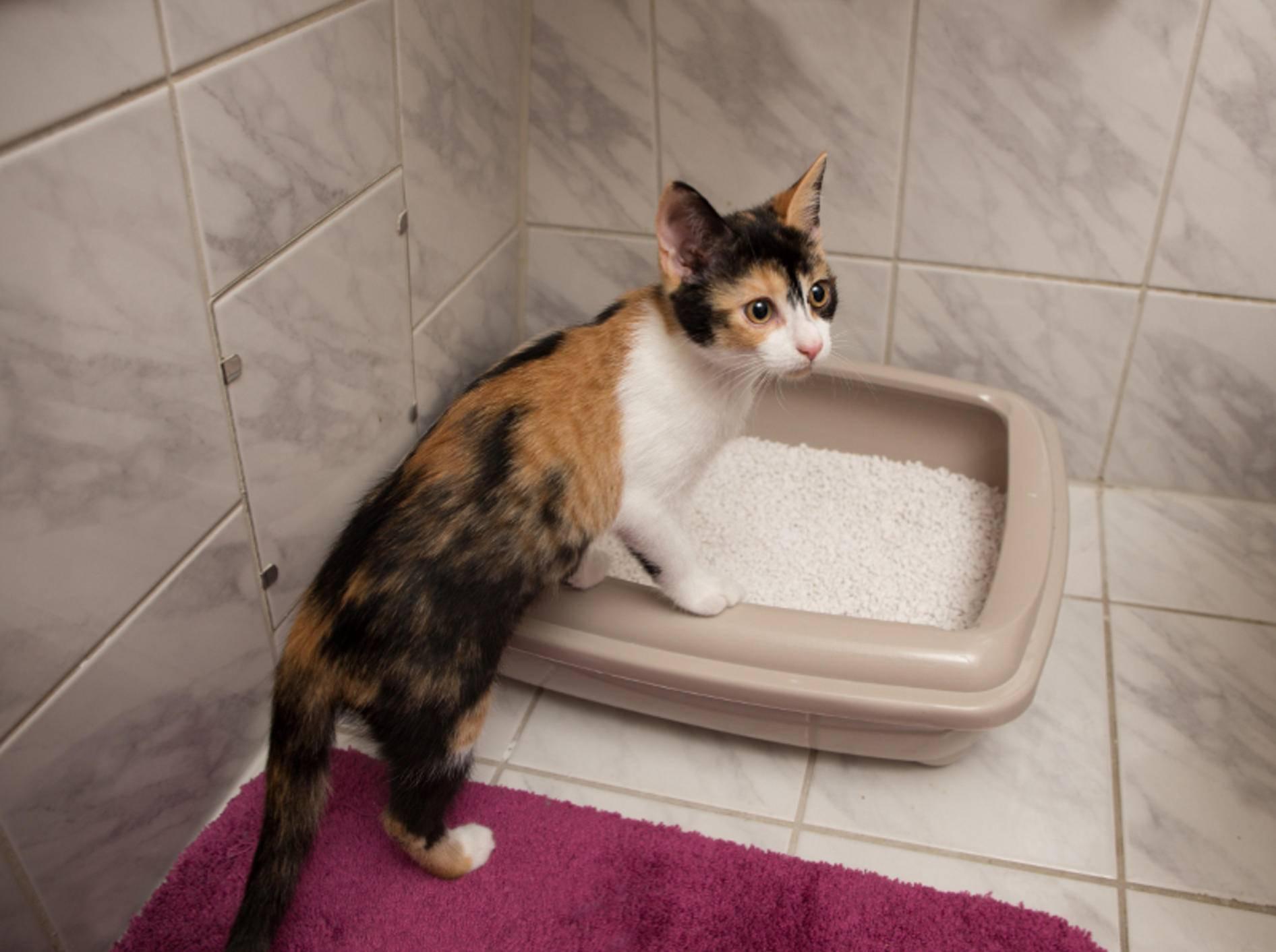 Junge Katzen haben in der Regel weniger Probleme mit Blasenentzündungen – Shutterstock / ajlatan