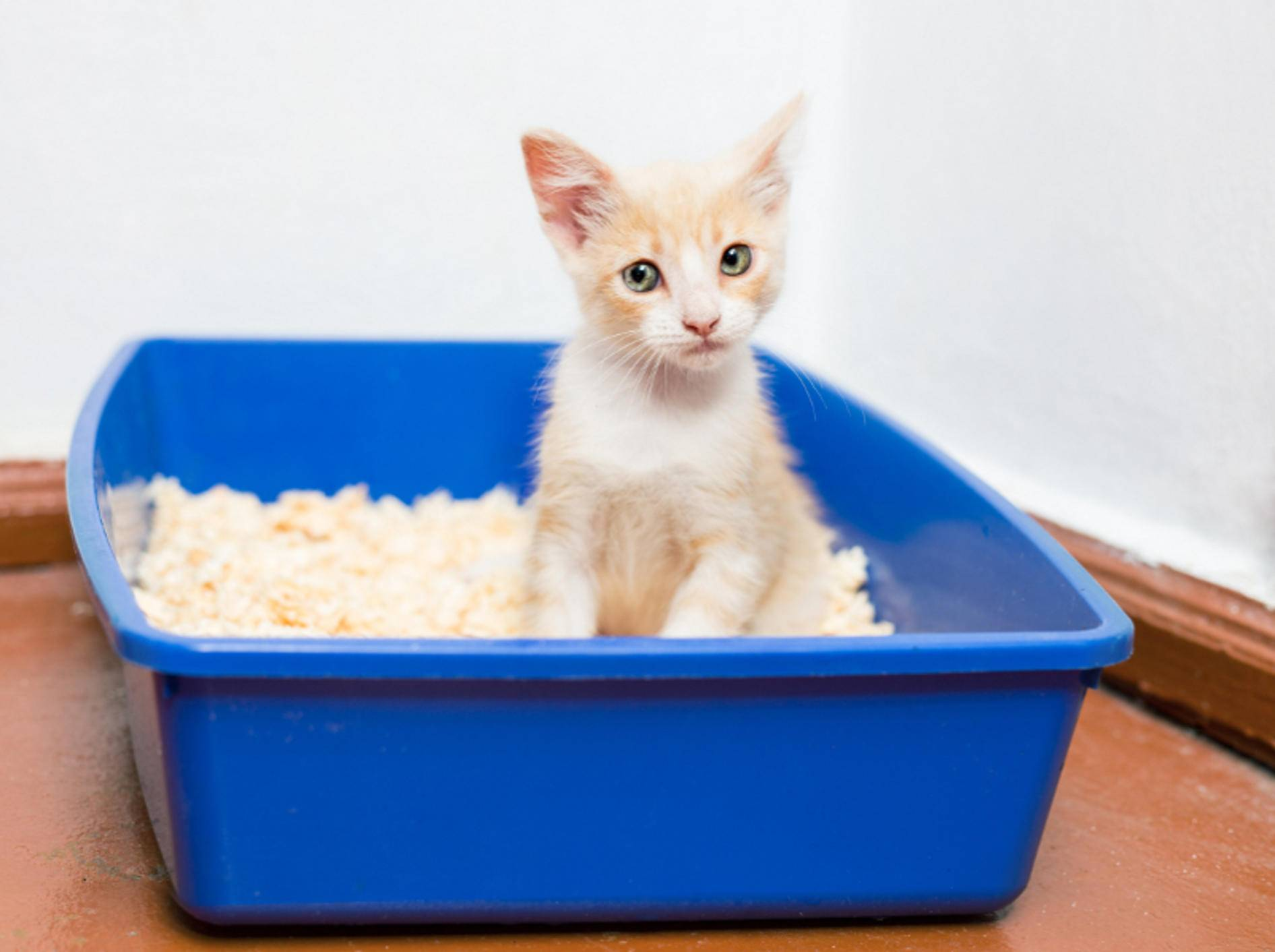 Endlich wieder ohne Schmerzen aufs Katzenklo? Bei einer Zystitis hilft in der Regel die Einnahme von Antibiotika – Shutterstock / Tiplyashina-Evgeniya