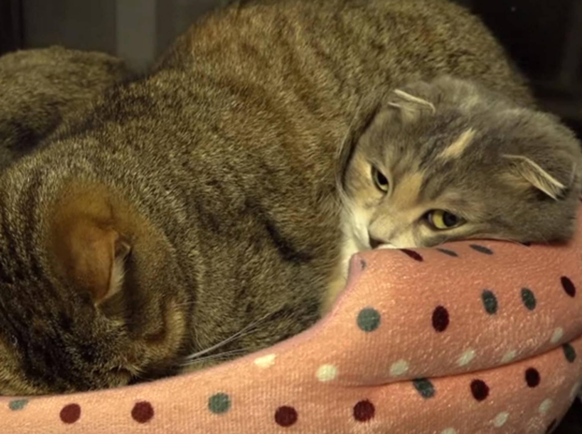 Mama Katze dient als Kissen für ihre Riesenbabys – Bild: YouTube / 10 Cats.