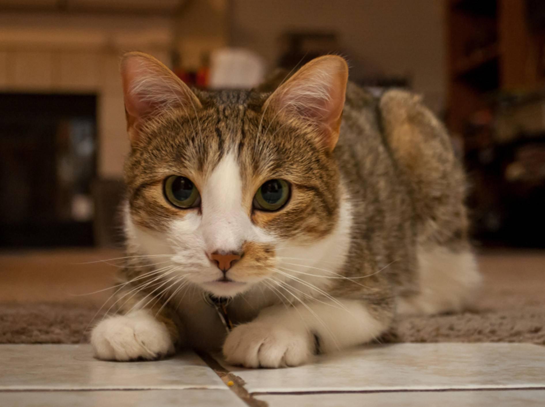 Im Gegensatz zu dieser gesunden Manx-Katze, haben Katzen mit Hydrozephalus meist größere Köpfe – Shutterstock / esdeem