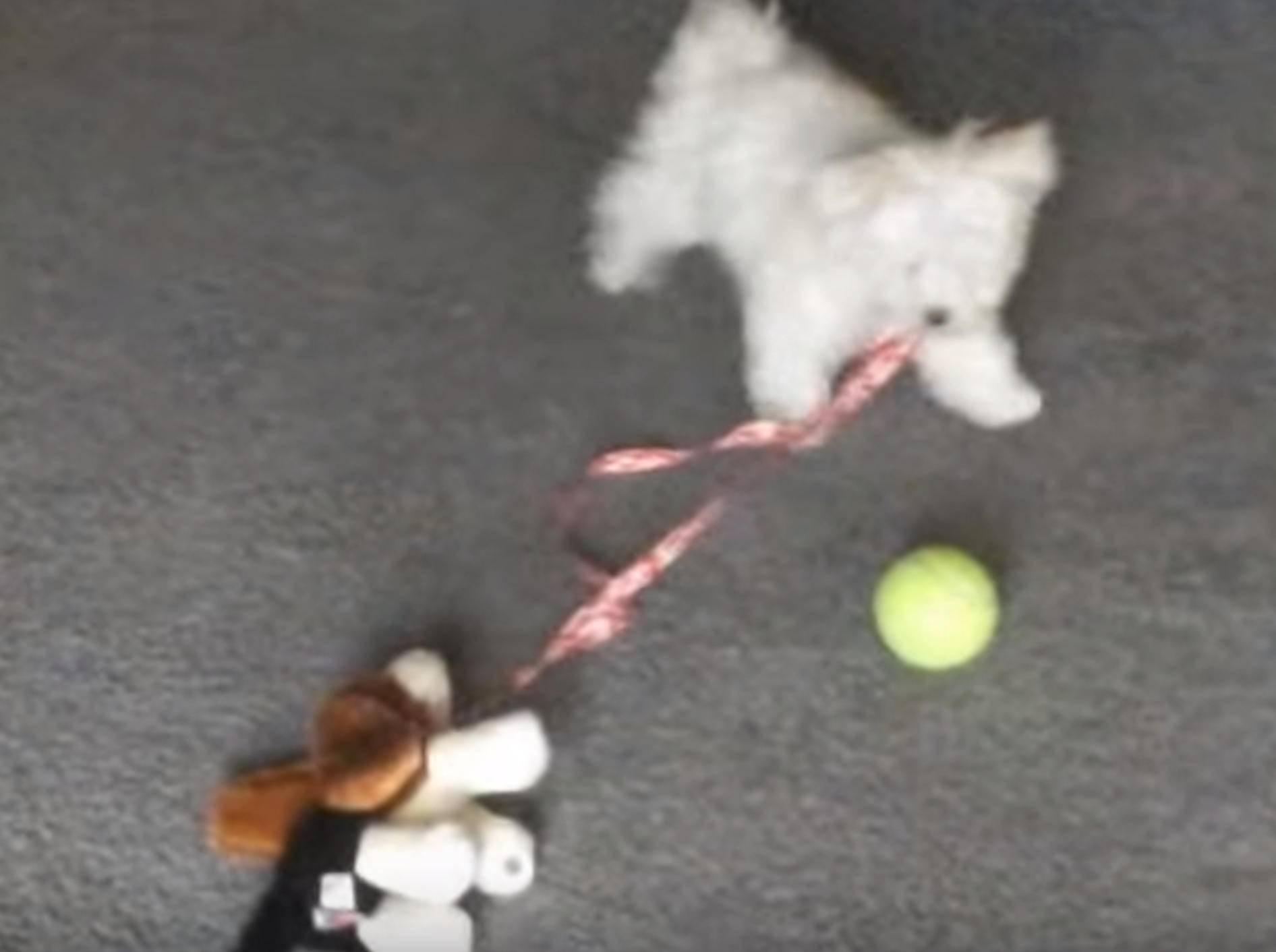 Süßer weißer Wuschelwelpe führt seinen Stoffhund Gassi – Bild: YouTube / Kyoot Animals