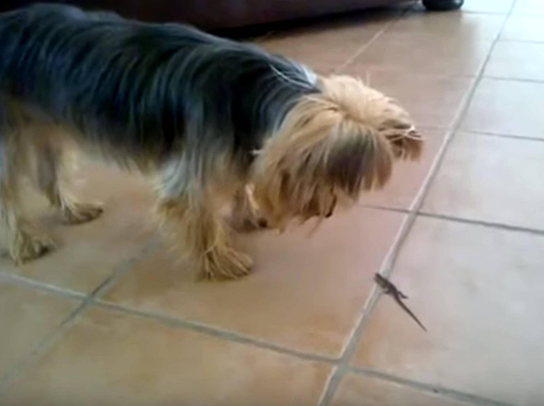 Eine süße Begegnung: Yorkshire Terrier entdeckt Eidechse – Bild: YouTube / The Pet Collective