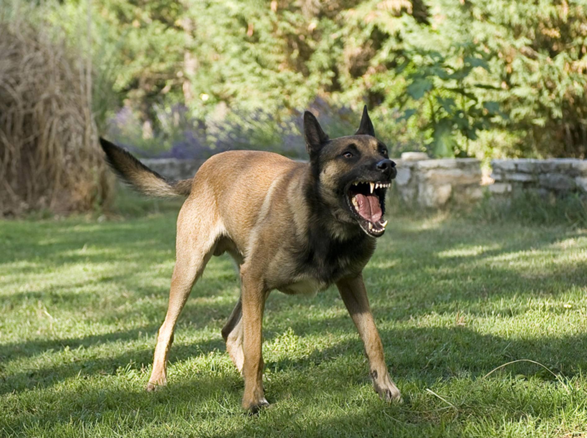 Unehrlichkeit bei der Problemhundetherapie kann gefährlich werden – Shutterstock / cynoclub