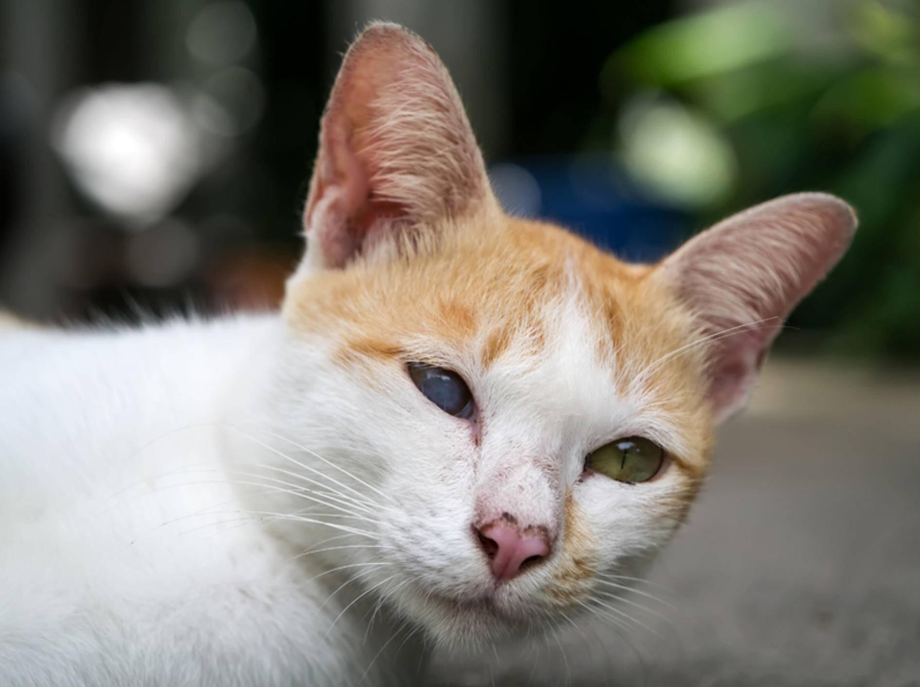 Grauer Star hat diese Katze auf einem Auge blind gemacht – Shutterstock / Noppharat46
