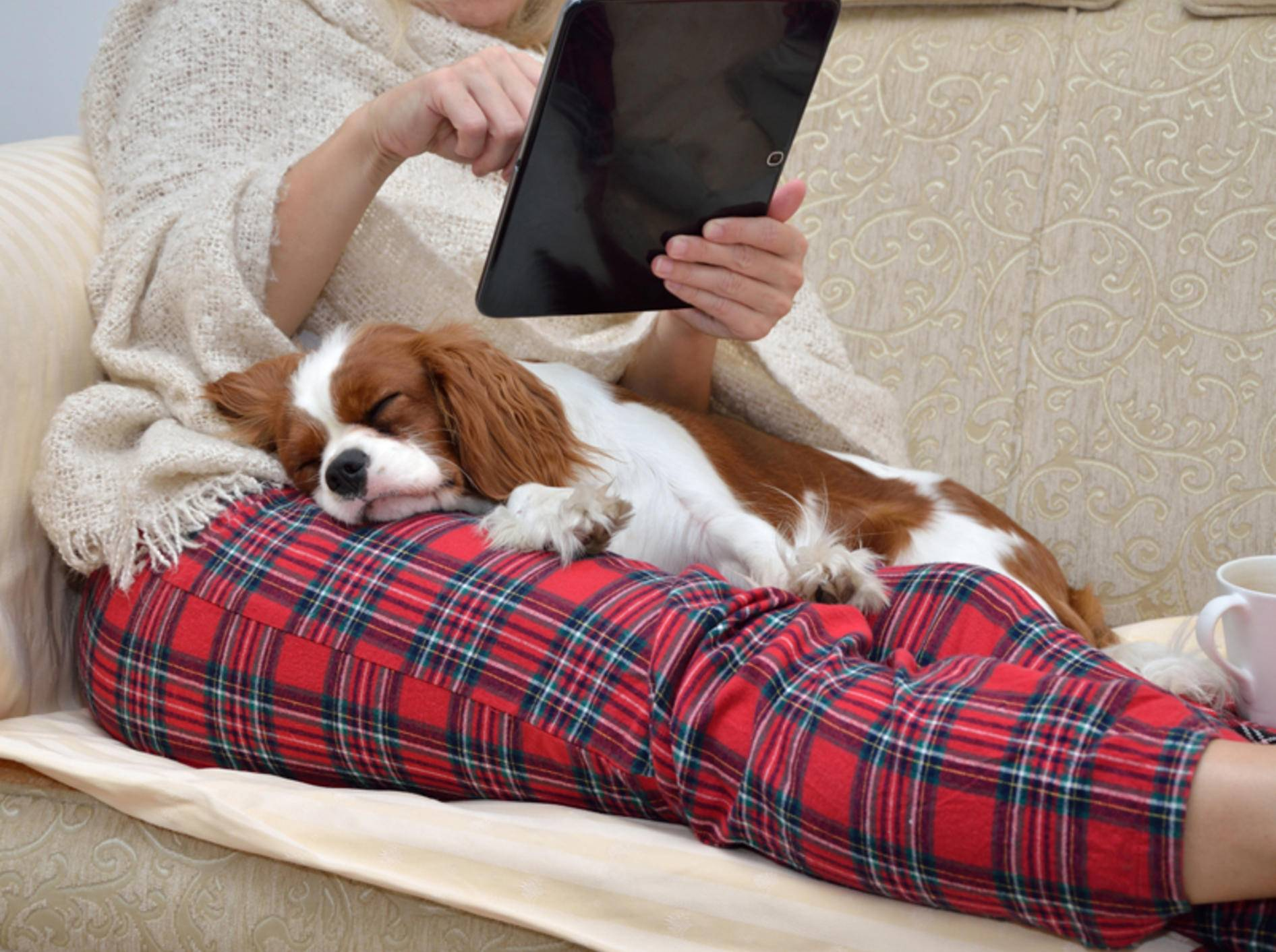 Dieser Cavalier King Charles Spaniel spürt, dass es seinem Frauchen gut geht – Shutterstock / bane.m