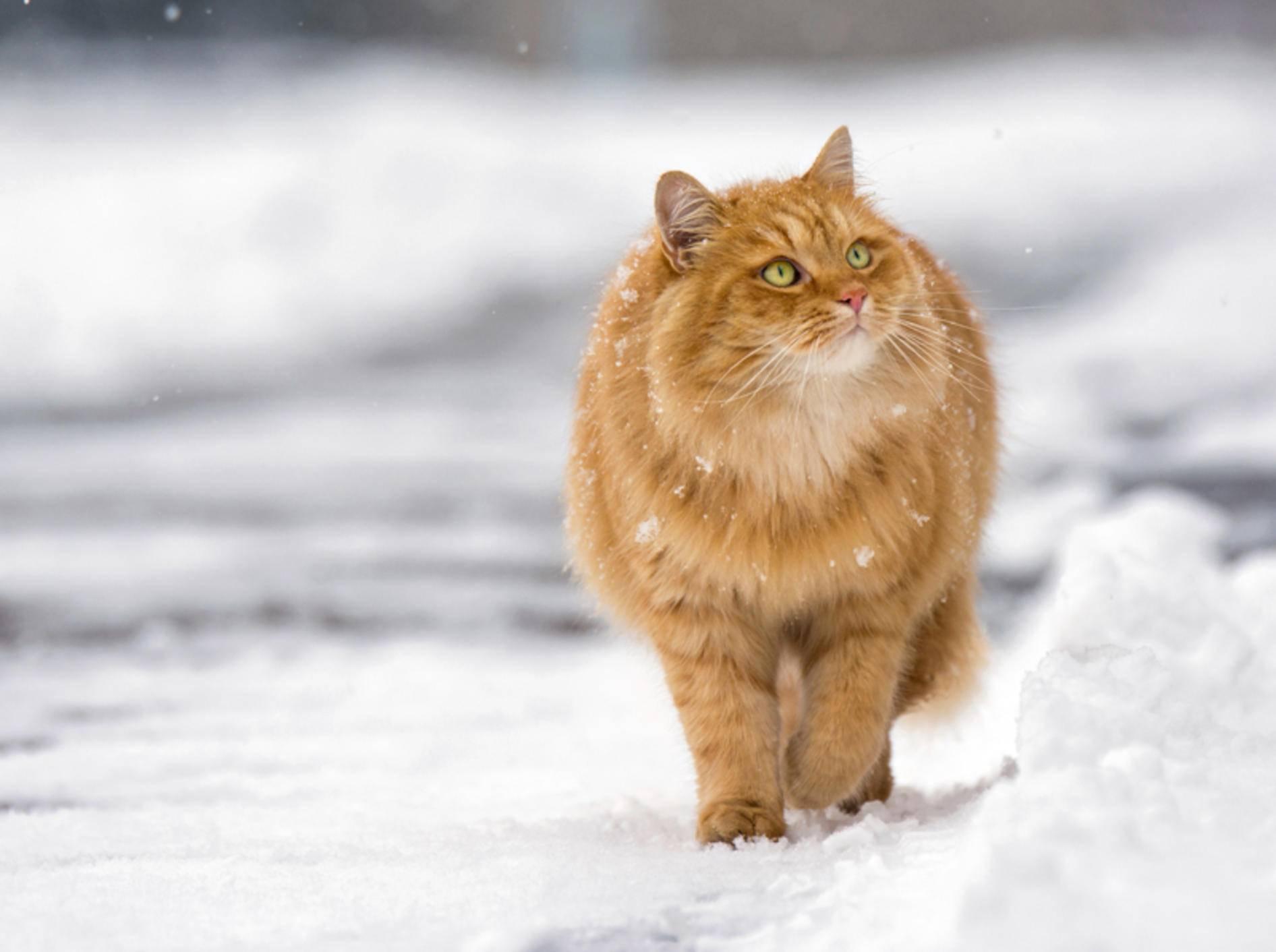 """""""Winterspeck? Ich? Von wegen! Ich bin einfach sehr plüschig!"""", denkt diese Katze – Shutterstock / DavidTB"""