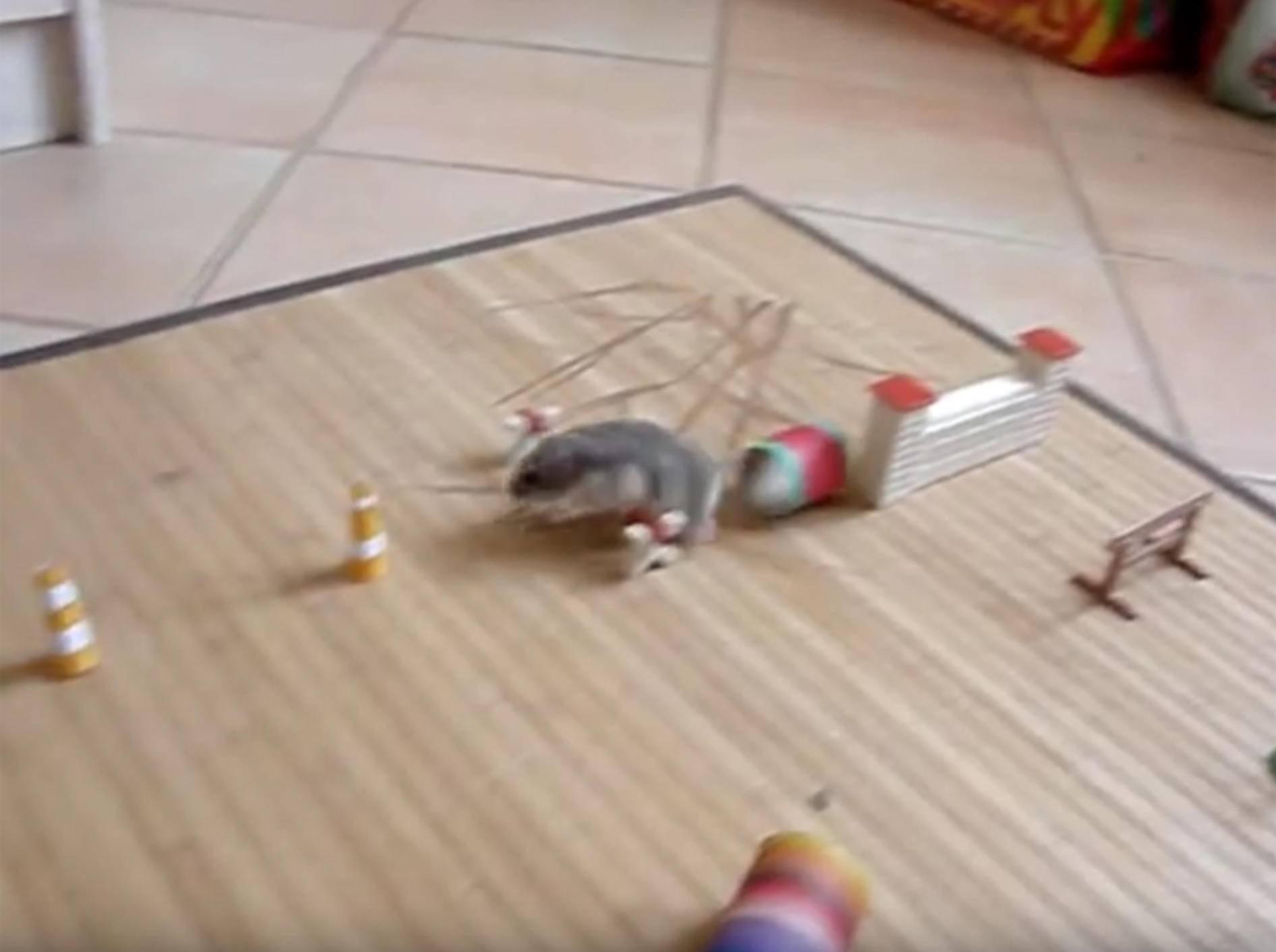 Sportliches Pausbäckchen: Agility-Parkour für Hamster – YouTube / Vidochon