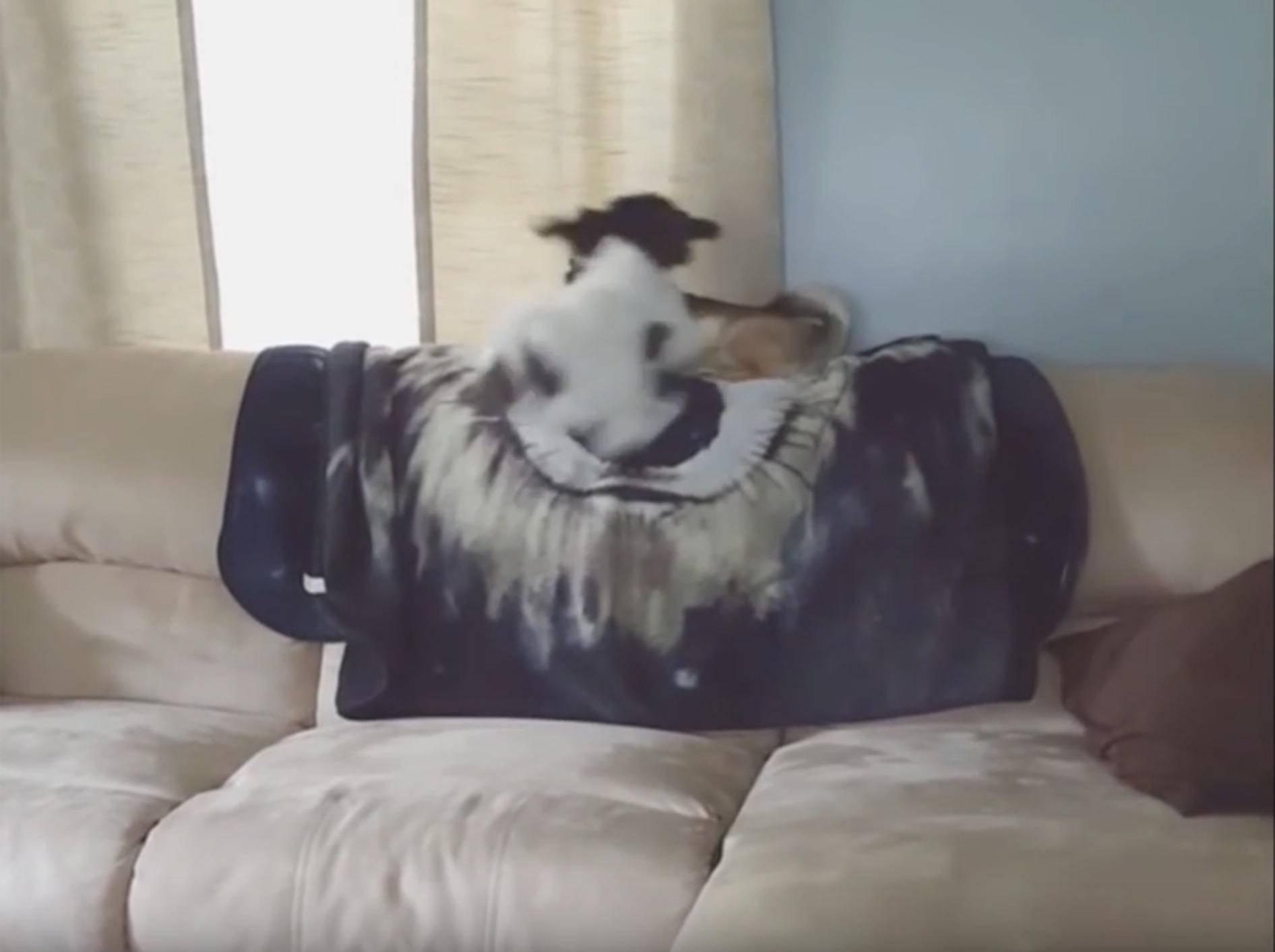 Frecher Hund boxt Artgenossen vom Sofa – YouTube / Kyoot Animals