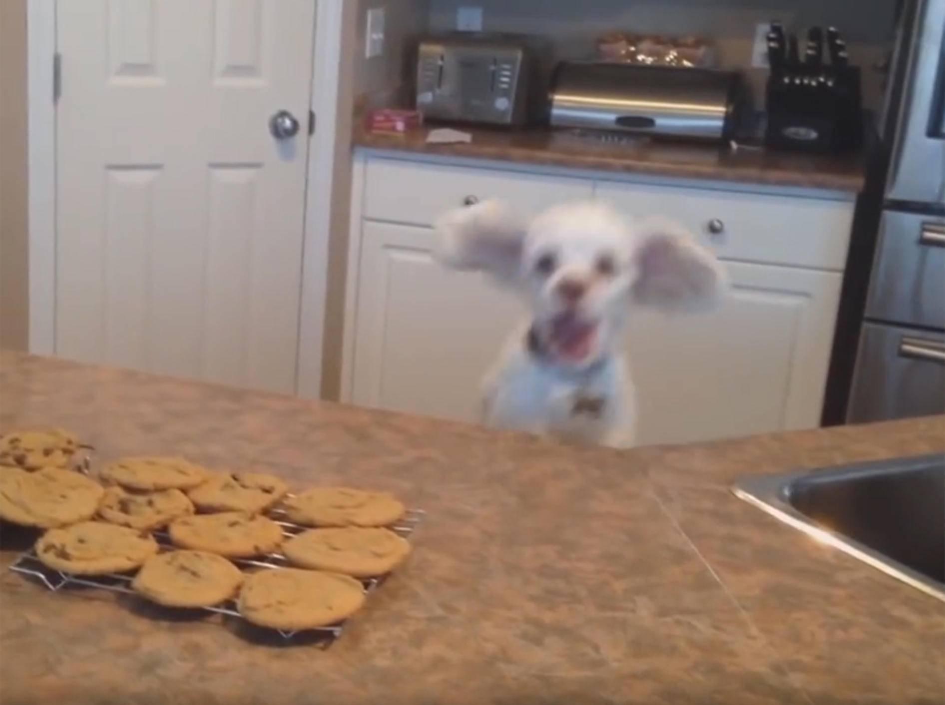 """""""Wow! Kekse! Krieg ich was ab?"""": Lustiger Hund hüpft auf und ab – YouTube / Kyoot Animals"""