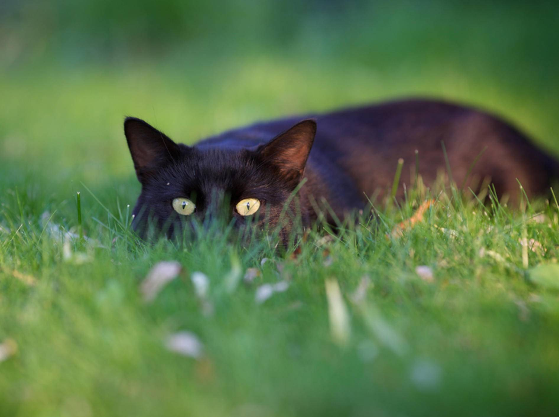 Voller Konzentration liegt die Katze auf der Lauer – Shutterstock / Alina Simakova