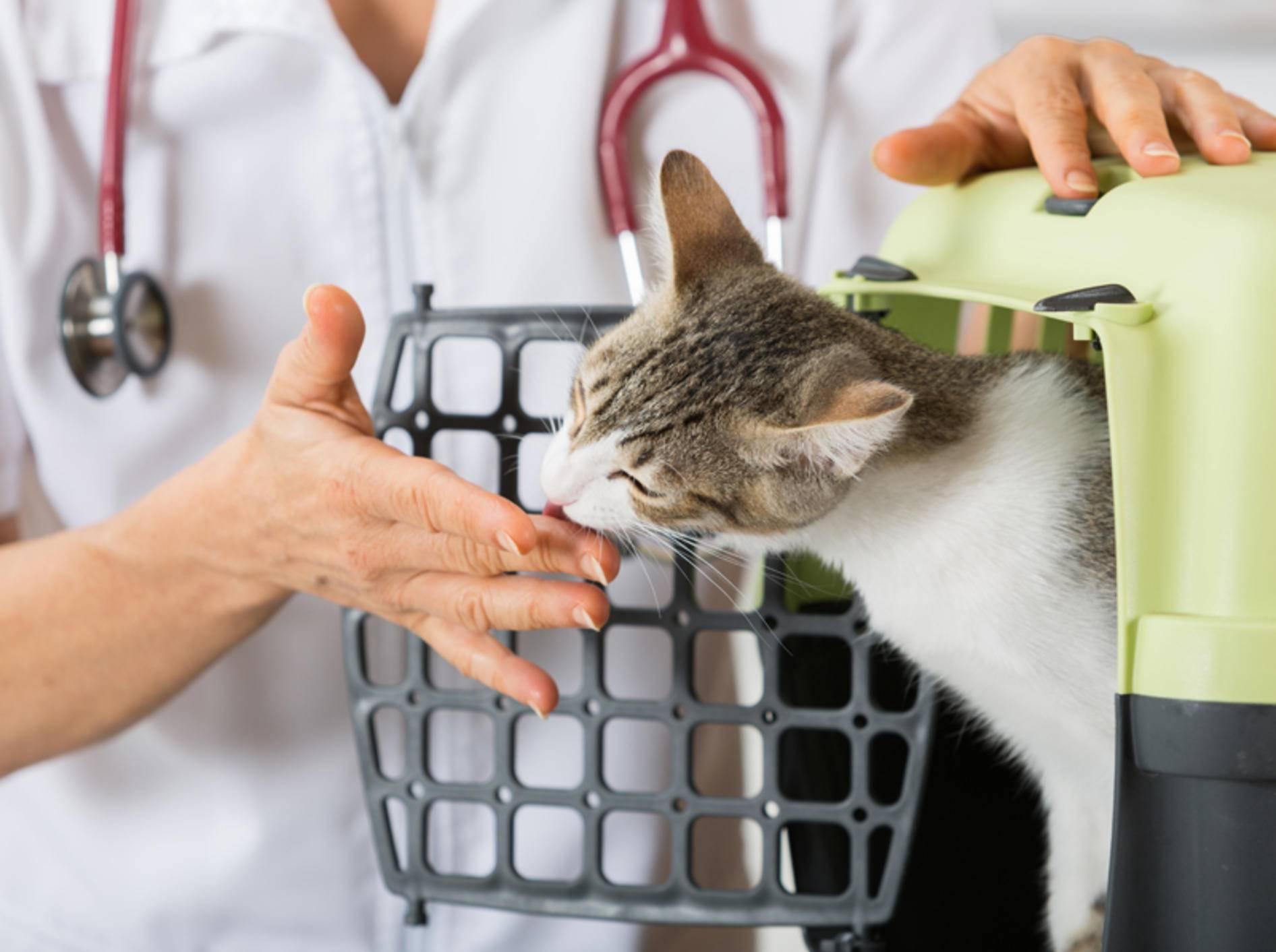 Wird die junge Katze sterilisiert oder kastriert? – Shutterstock / 135pixels