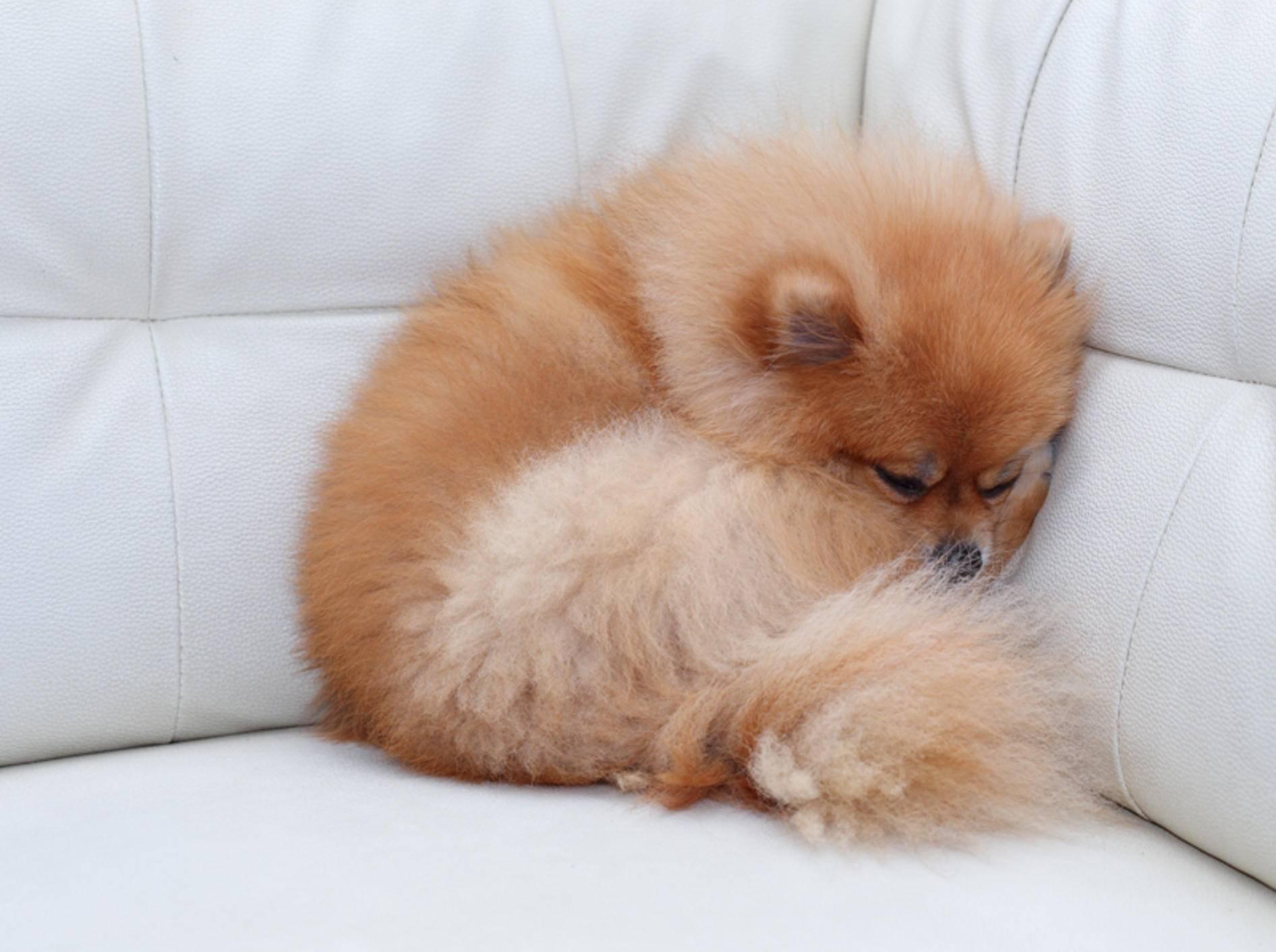 Dieser puschelige Spitz genießt seine Ruhe – Shutterstock / Sutichak