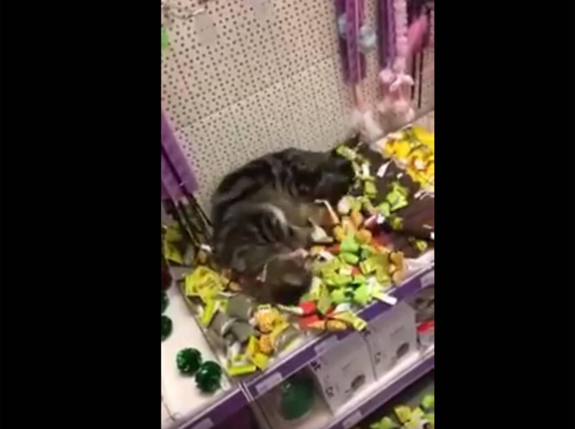 Ausgebuffte Katze klaut Katzenminze im Zoogeschäft – YouTube / SensualCat