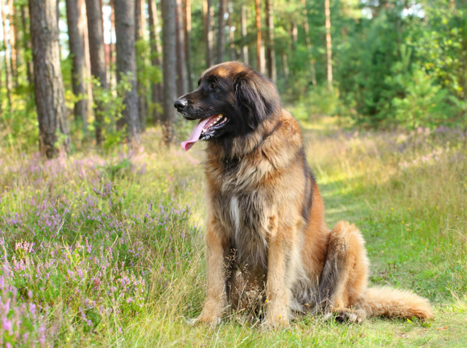 Große Hunde wie der Leonberger sind anfällig für bestimmte Krankheiten – Shutterstock / Jagodka