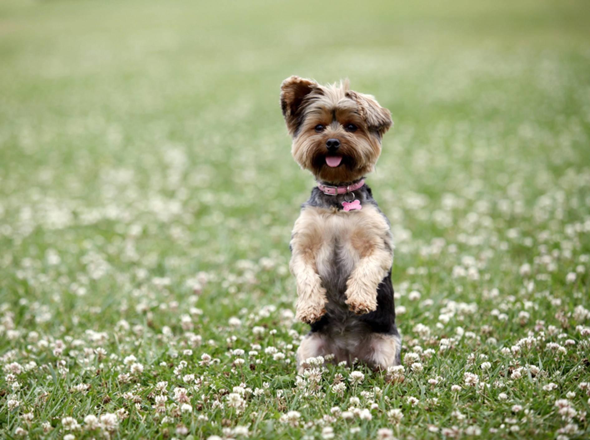 """""""Guck mal, was ich kann!"""" – Ist permanente Aufmerksamkeit gut für Hunde? – Shutterstock / Phase4Studios"""