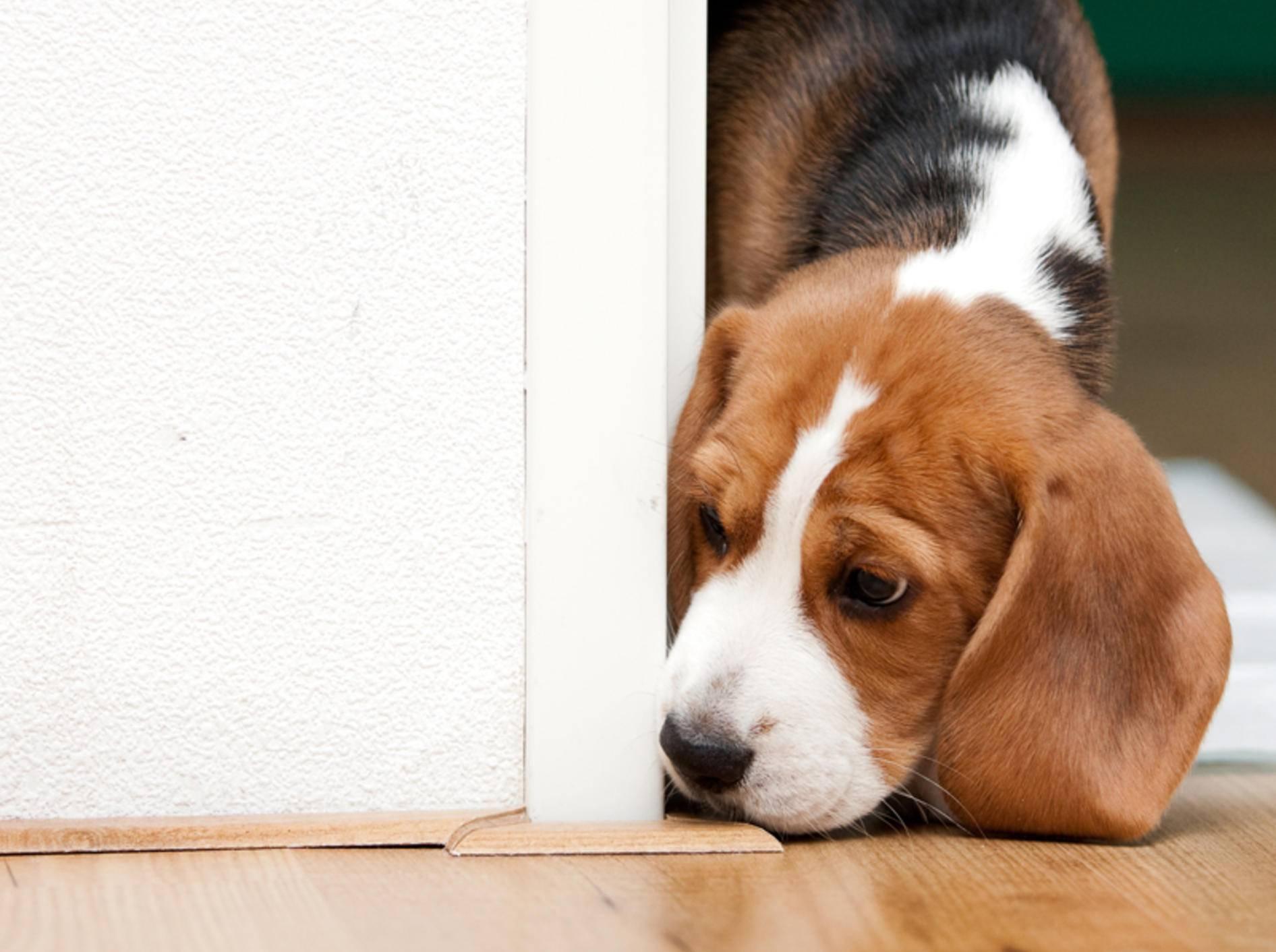 Wer Beagle mag, gilt als neugierig und unbeschwert – Shutterstock / Peter Kirillov