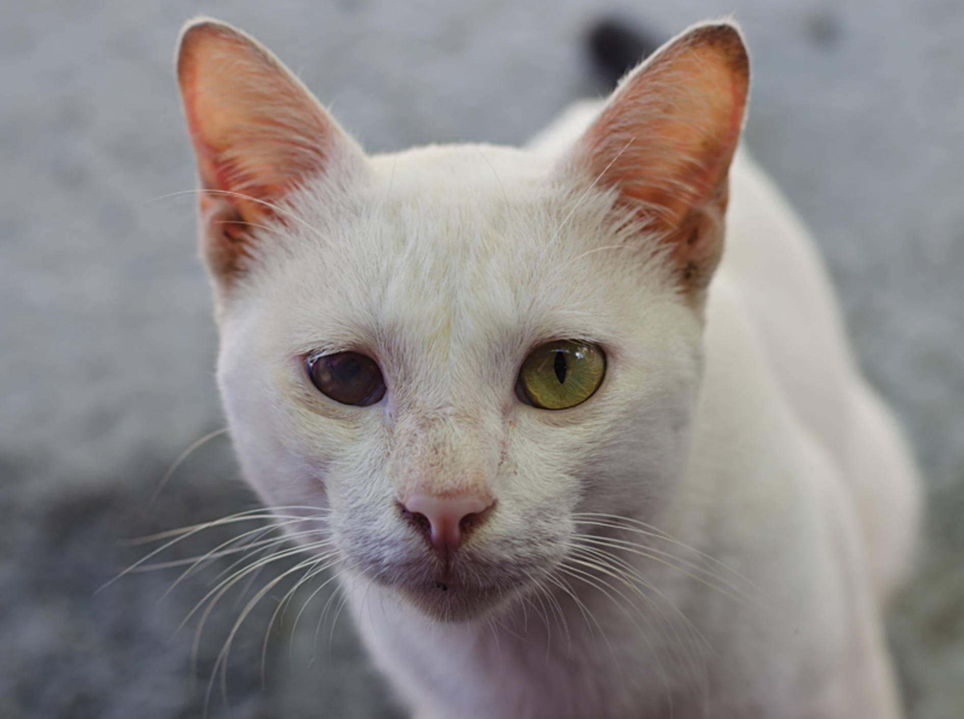 Diese Katze ist auf einem Auge blind: Ist Grüner Star die Ursache? – Shutterstock / Benchaporn Maiwat