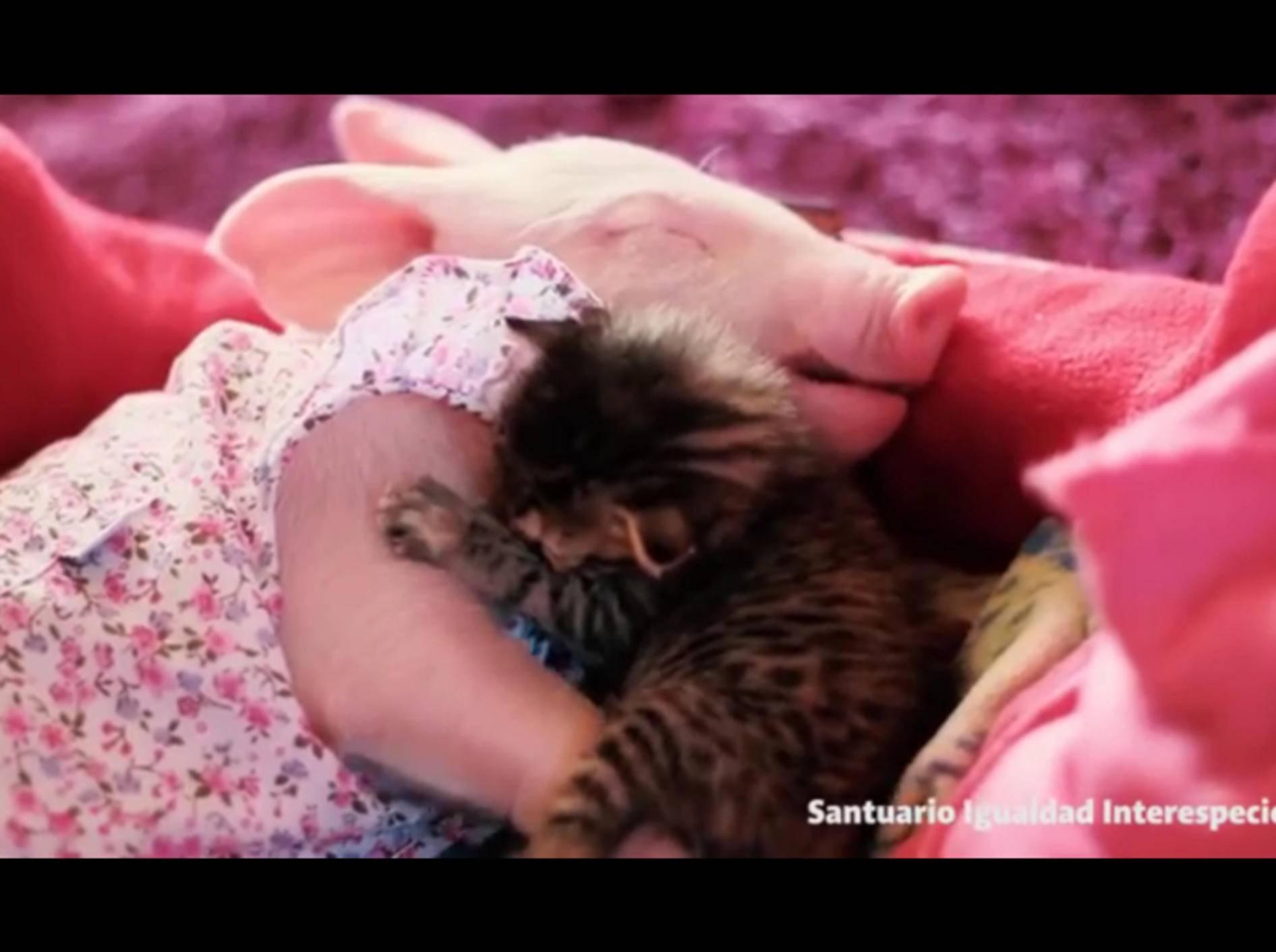 Ferkel und Kätzchen schmusen und schlafen gemeinsam ein – YouTube / Santuario Igualdad Interespecie