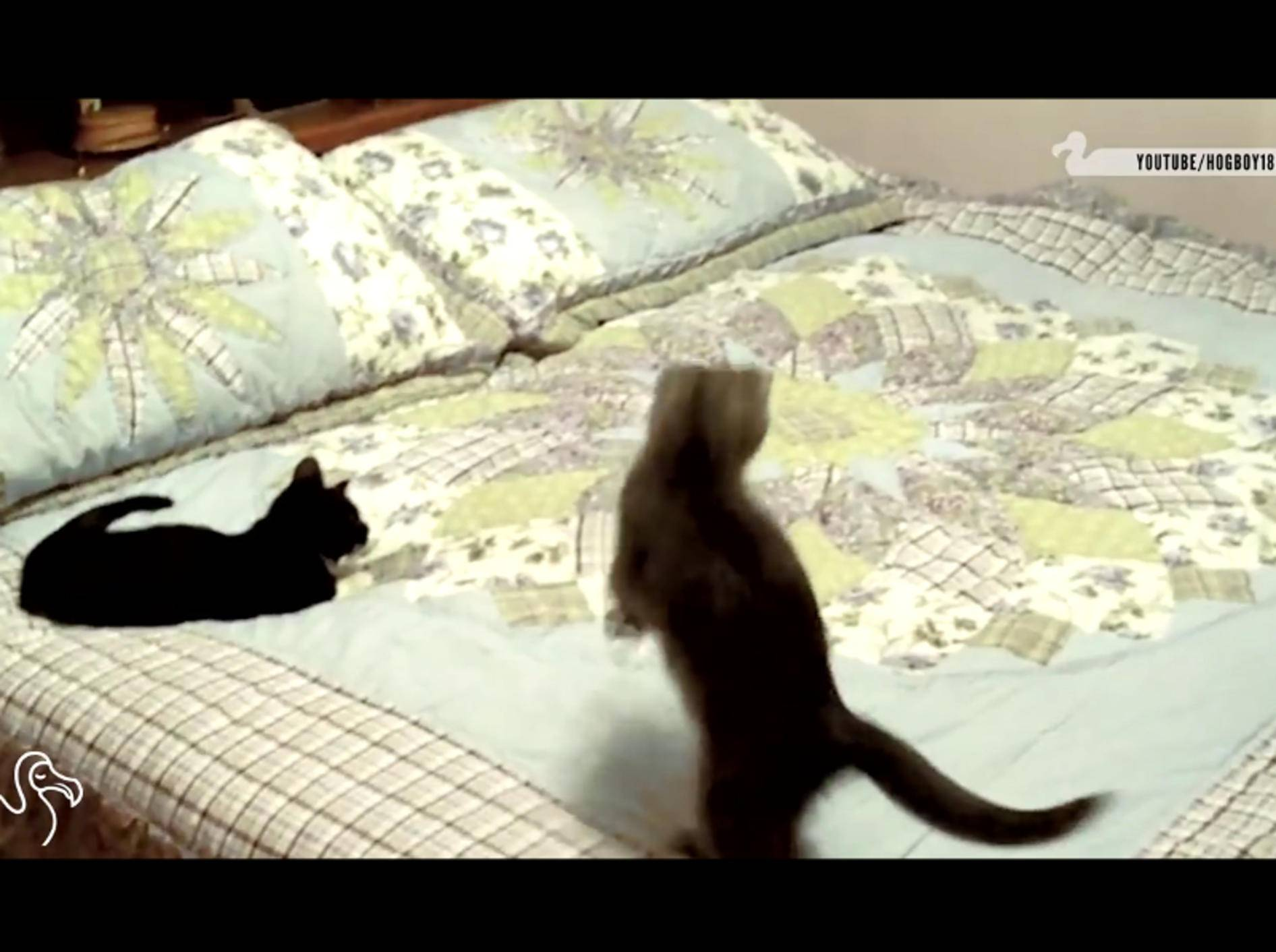 Diese Katzen glauben, dass sich etwas Lebendiges unter der Bettdecke versteckt – YouTube / The Dodo