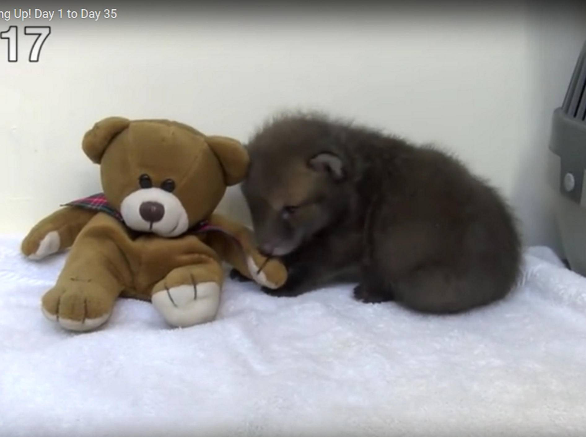 Fünf Wochen lang filmten die Tierretter den kleinen Findelfuchs und zeigen so, wie schnell er wächst – YouTube / Wildlife Aid