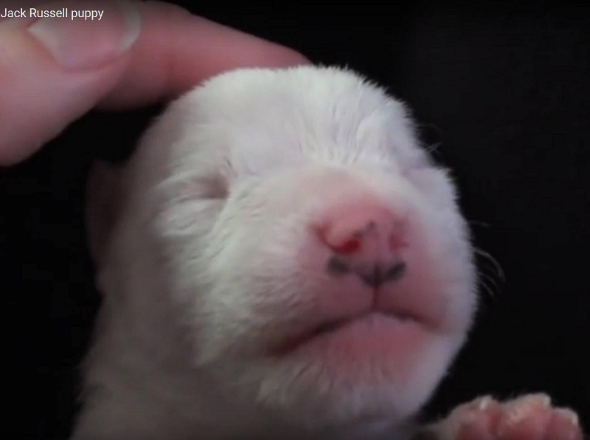 Wie niedlich dieser winzige Jack Russel Welpe schläft und träumt, während er gestreichelt wird! – YouTube / Jennifer Hare