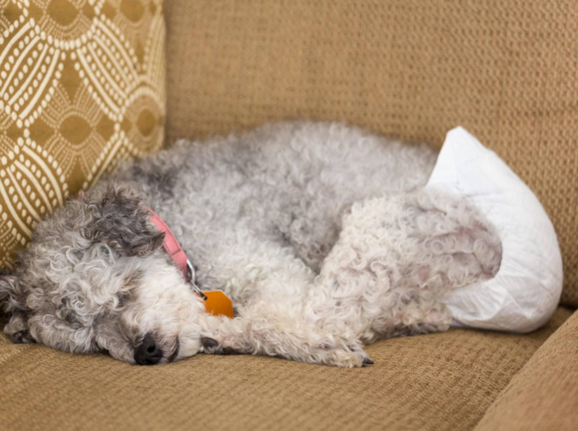 Spezielle Windeln für Hunde vermeiden ärgerliche Urinflecken in der Wohnung – Shutterstock / Steve Heap