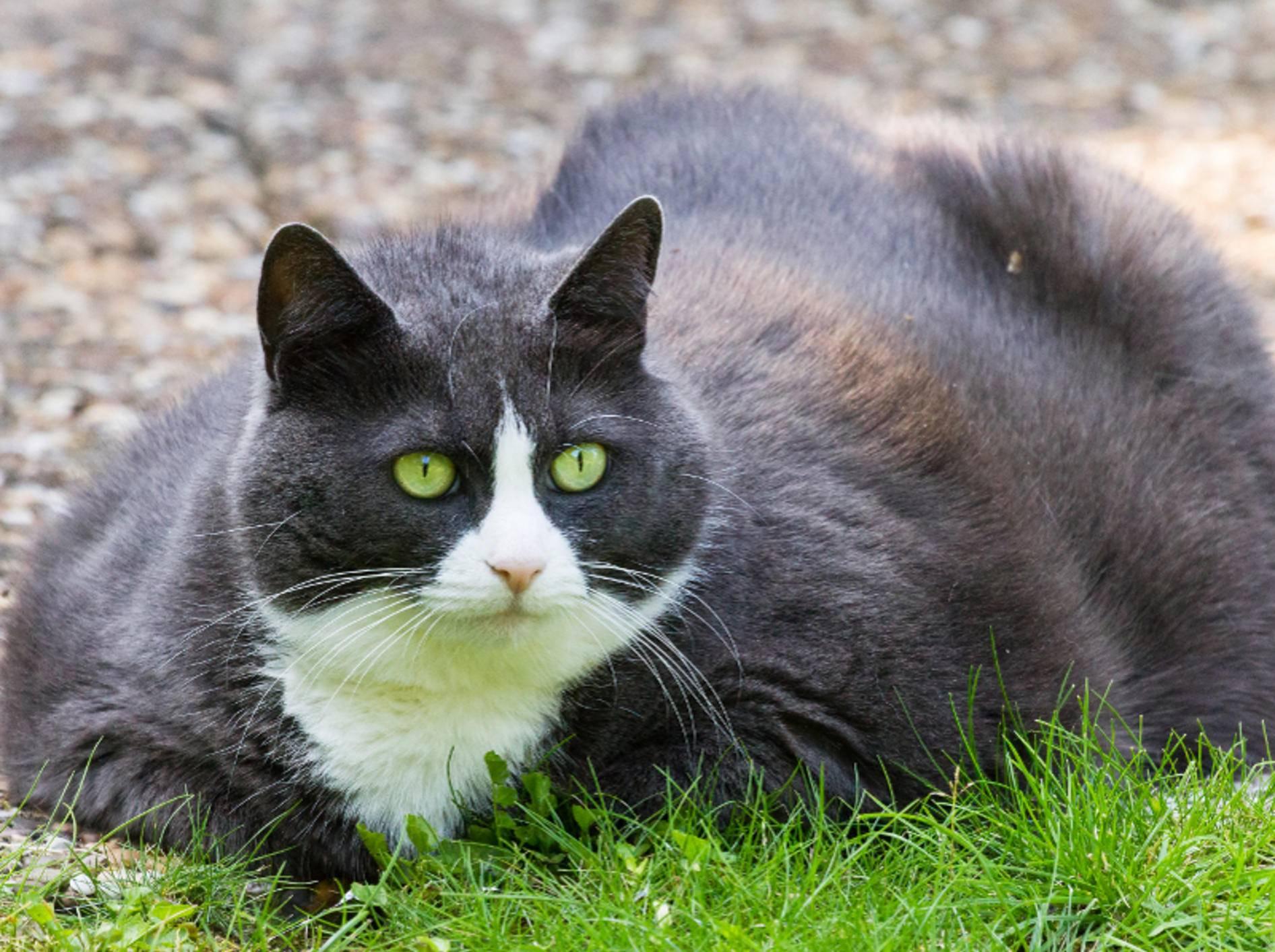 Übergewichtige Katzen haben vor allem draußen Defizite gegenüber schlanken, beweglicheren Katzen – Shutterstock / Dennis van de Water