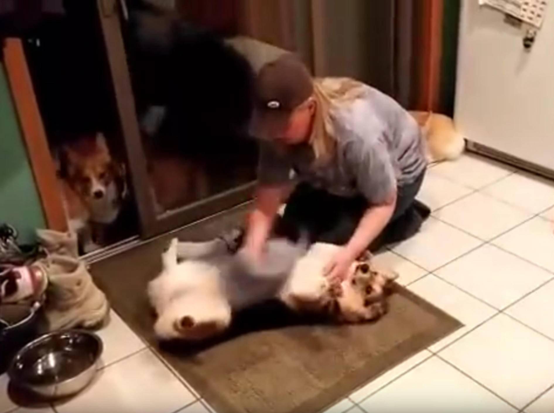 Freundliche Corgis lassen sich ganz brav abtrocknen – YouTube / DailyPicksandFlicks