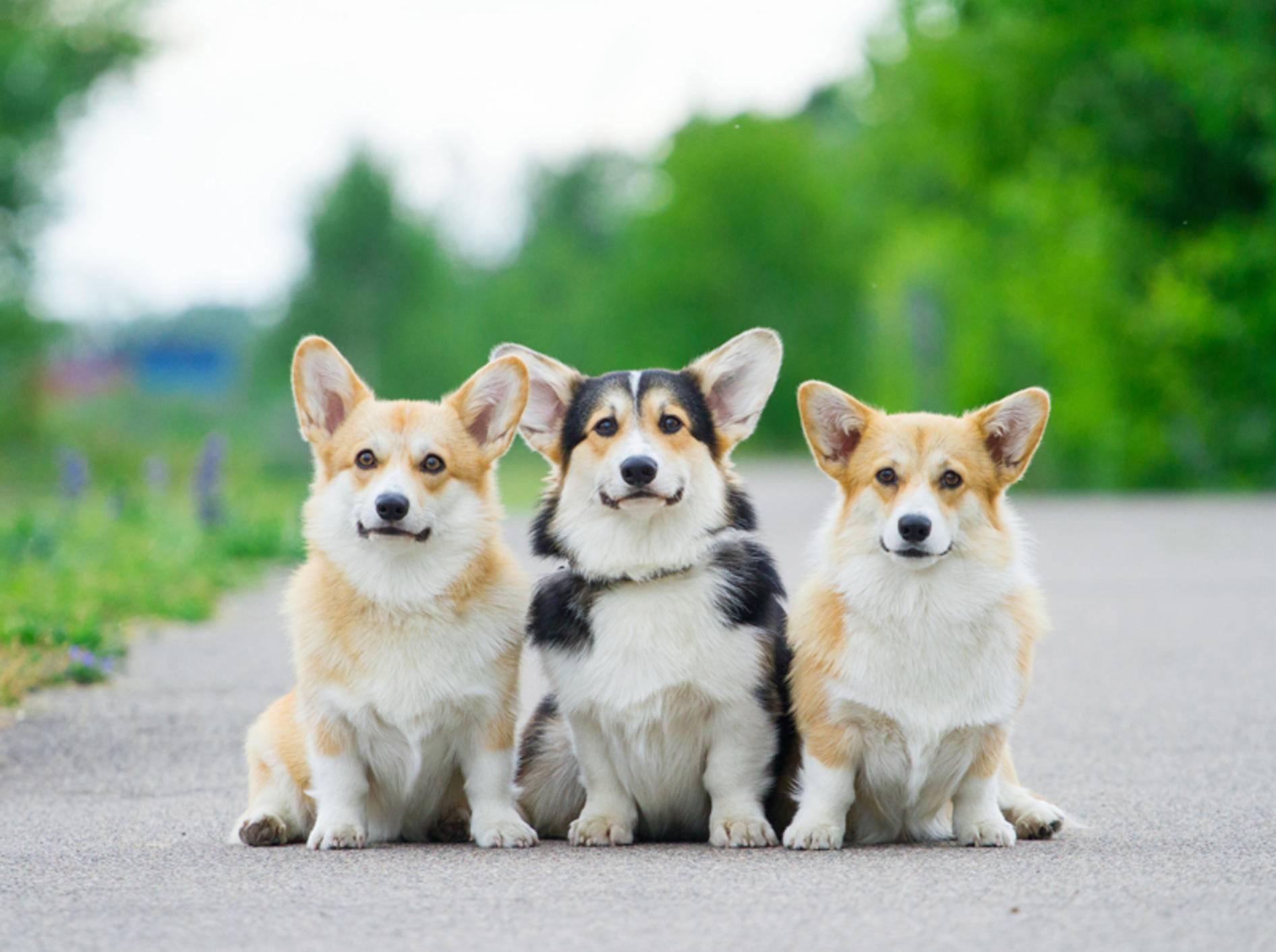 Corgis sind liebenswerte, eigensinnige Hunde, die gern immer mit dabei sind – Shutterstock / Revaphoto