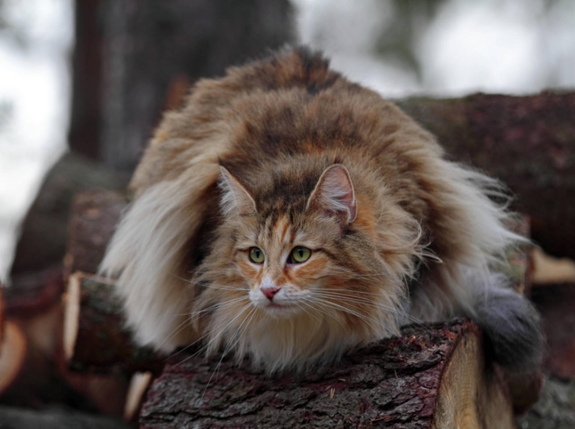 Diese wolligplüschige Miez ist eine Norwegische Waldkatze und ganz in ihrem Element – Shutterstock / Elisa Putti