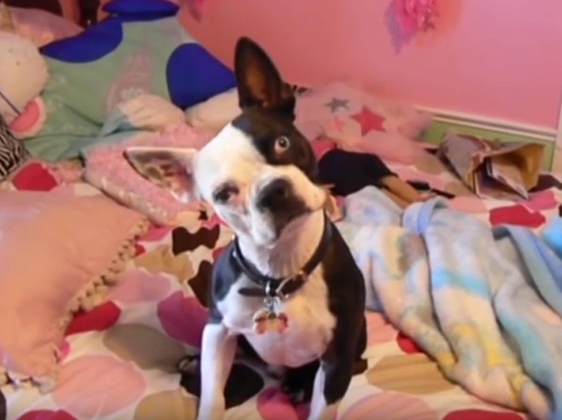 Süße französische Bulldogge legt den Kopf schief – YouTube / Kyoot Animals