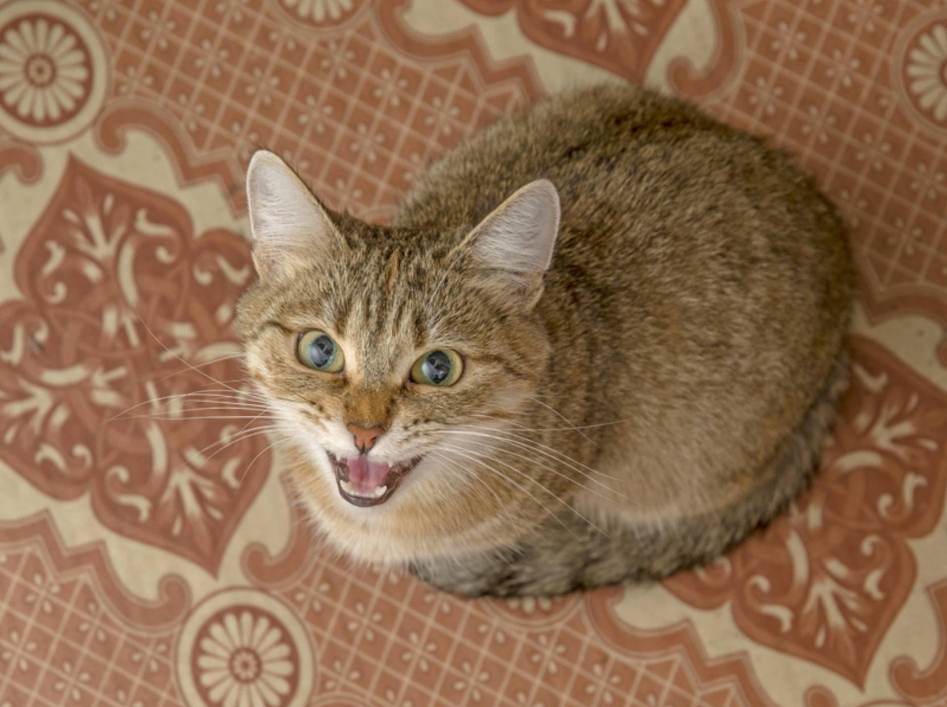 """""""Miau!"""": Diese Katze will ihrem Menschen etwas mitteilen – Shutterstock / maradon 333"""