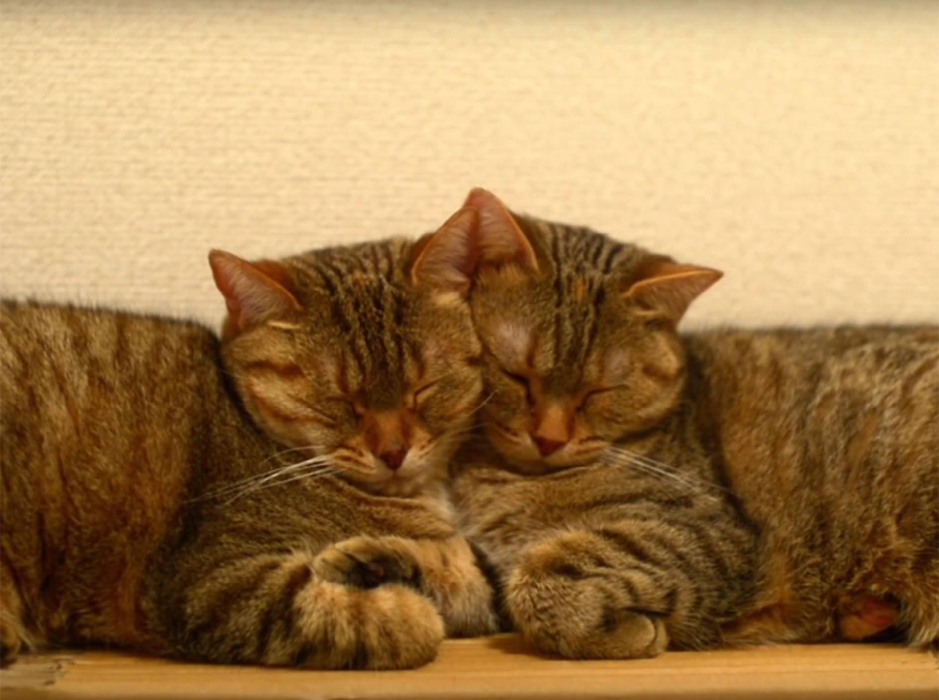 Michelle und May: Zwei Katzenzwillingsschwestern sind unzertrennlich – YouTube / 10 Cats.