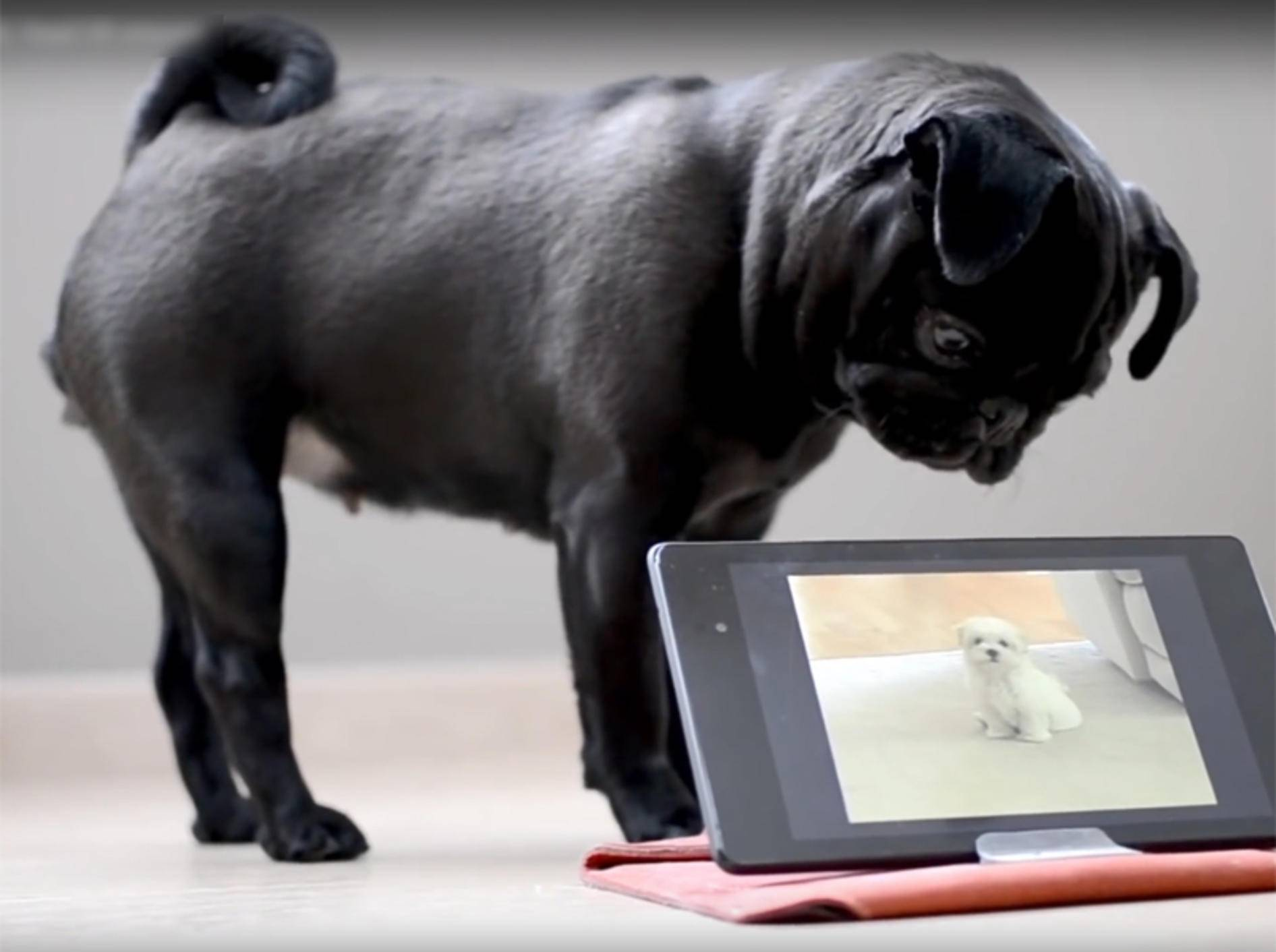 Mops Nao völlig verwirrt von Hundevideo auf dem Tablet – YouTube / Rumble Viral