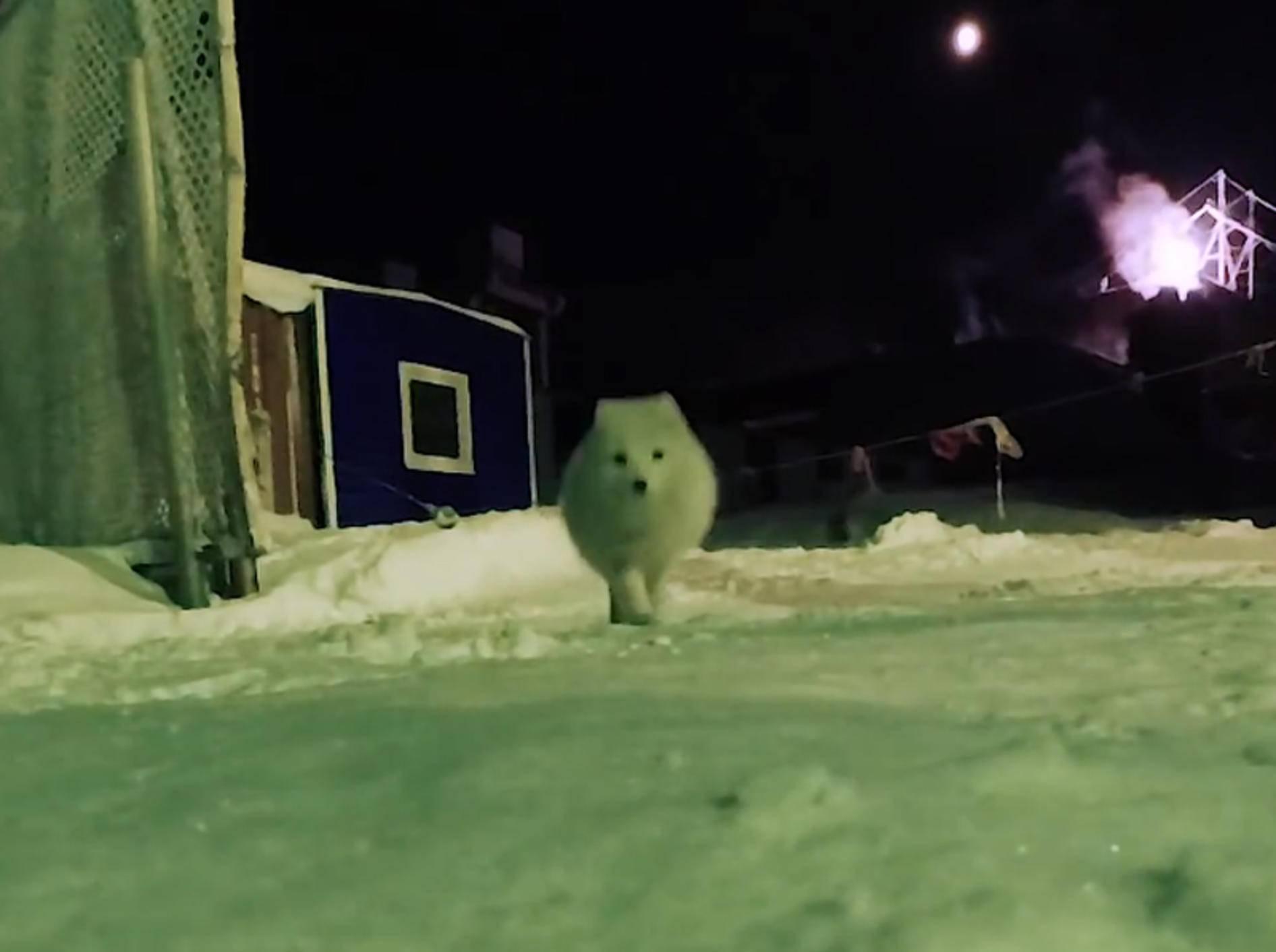 Schneeweißer Dieb: Polarfuchs klaut Kamera – YouTube / ViralHog