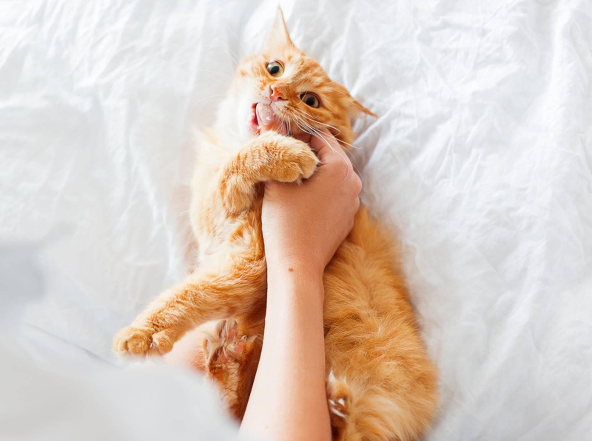Freche Tigerkatze beißt ihr Frauchen in die Hand: Liebesbeweis oder Aggression? – Shutterstock / Konstantin Aksenov