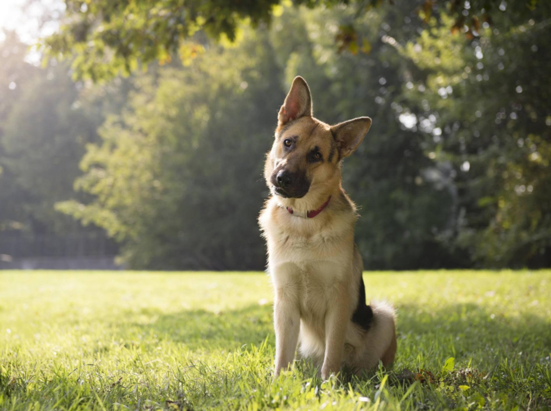 Will er Interesse bekunden, besser hören oder besser sehen? Warum Hunde ihre Köpfe schief legen, ist nicht eindeutig geklärt – Shutterstock / Diego Cervo