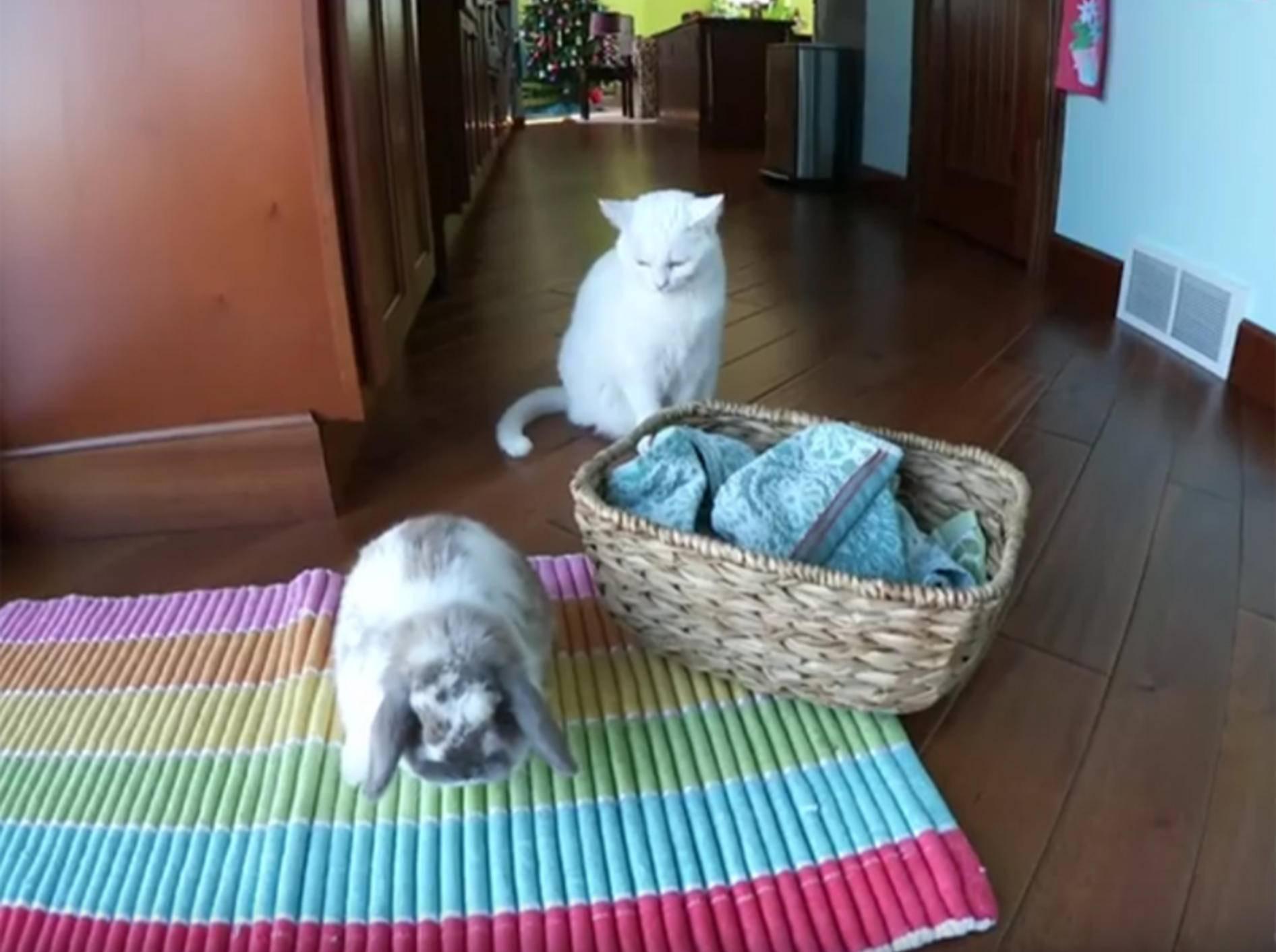 Zuckersüße Kaninchenmama mit ihren Babys – YouTube / Hook's Hollands - Ohio Holland Lops