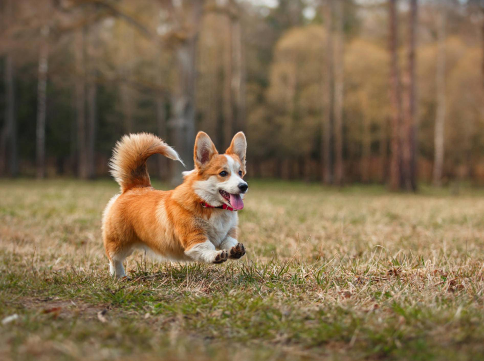 Der Corgi braucht trotz kurzer Beinchen viel Bewegung – Shutterstock / dezi