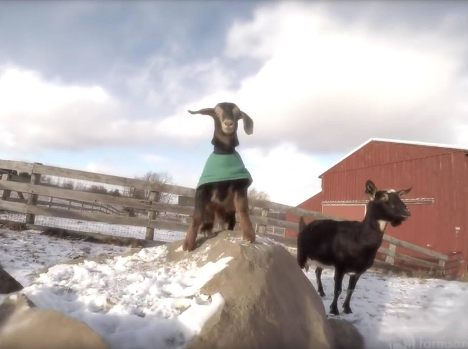 Zicklein Maggie träumt vom Spielen – YouTube / farmsanctuary1