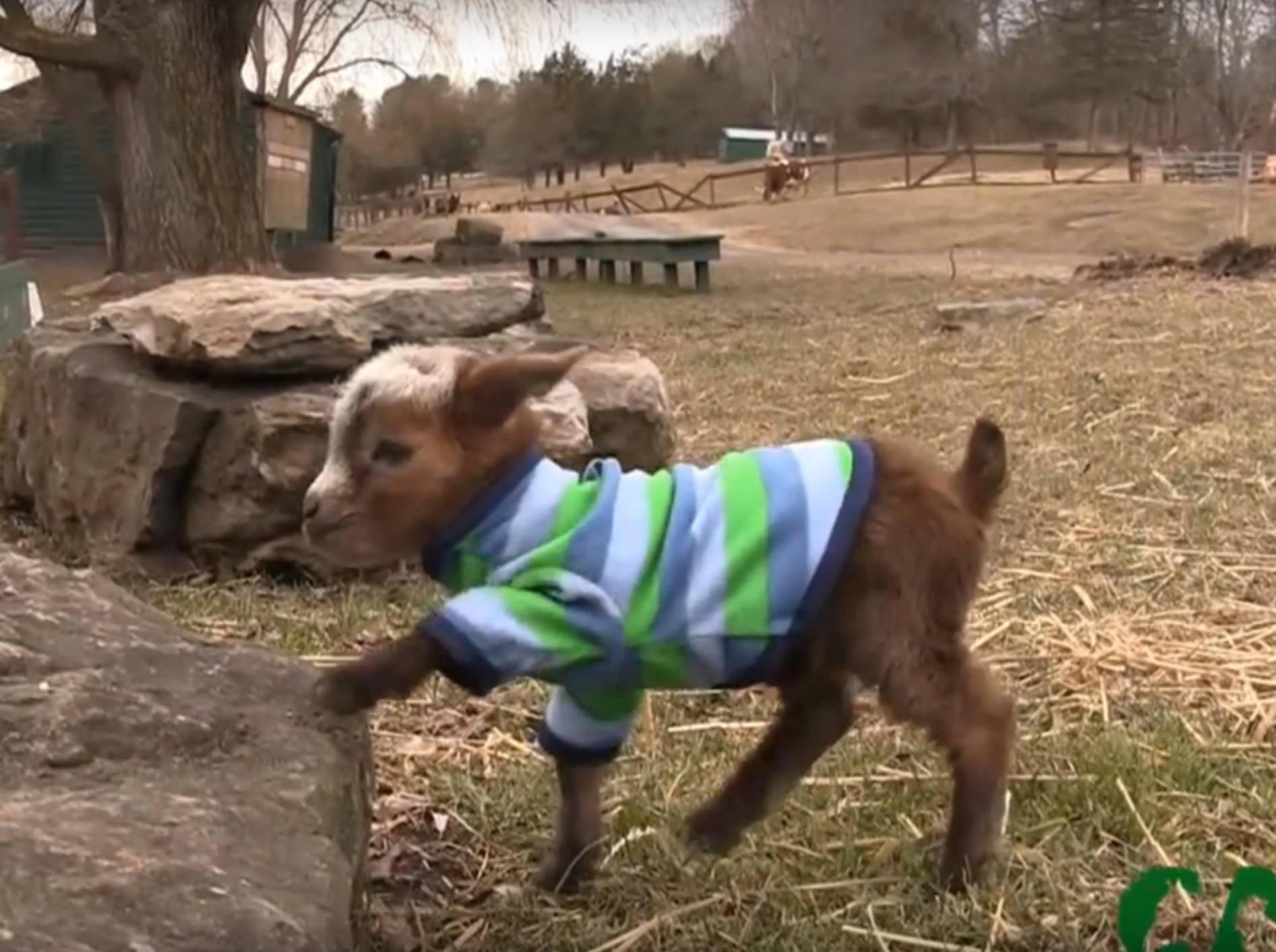 Zicklein Violet klettert auf einen Felsen wie ein Profi – YouTube / Catskill Animal Sanctuary