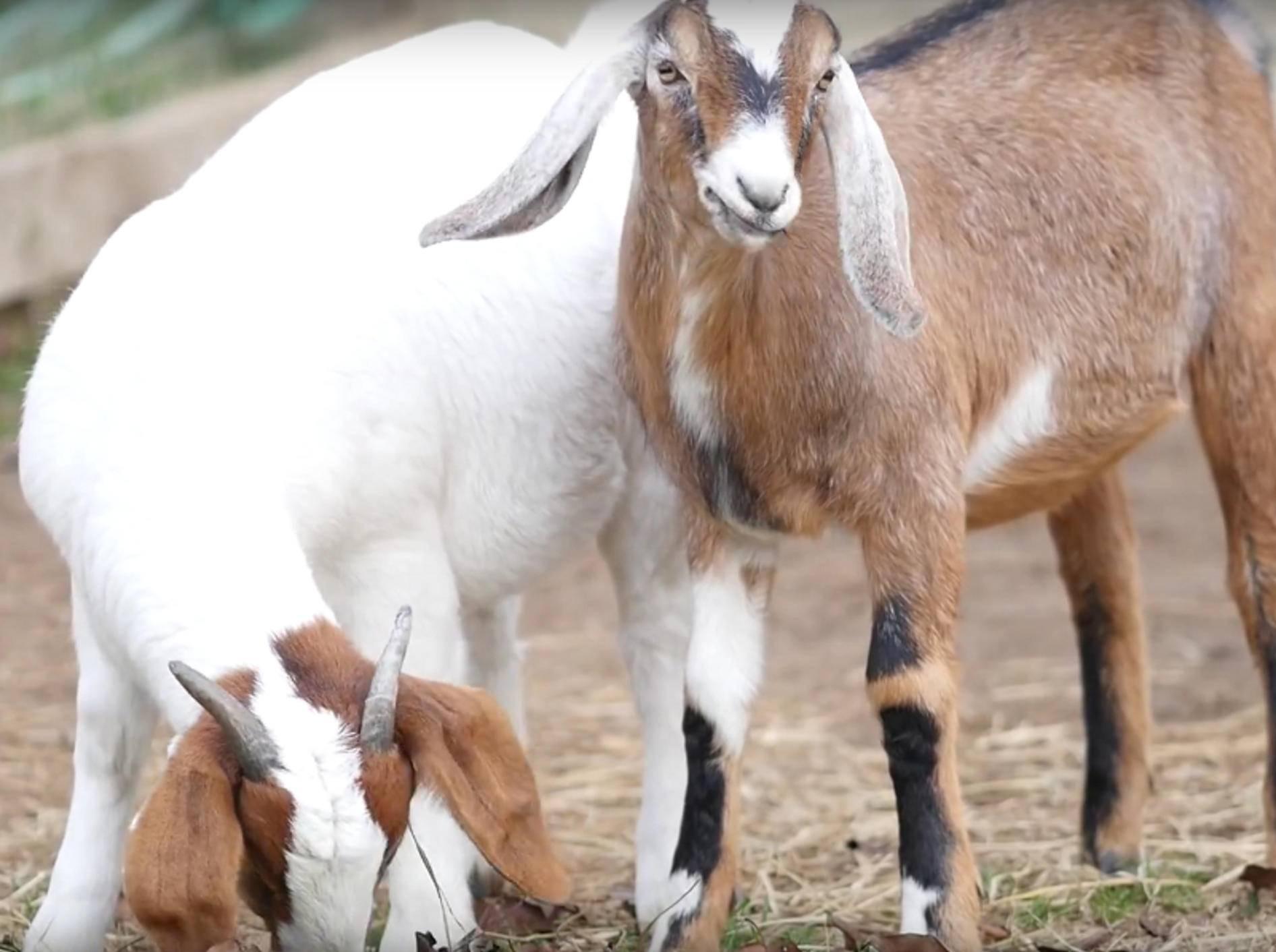 Die beiden Ziegenfreunde machen einfach alles gemeinsam! Wie süß! – YouTube / farmsanctuary1