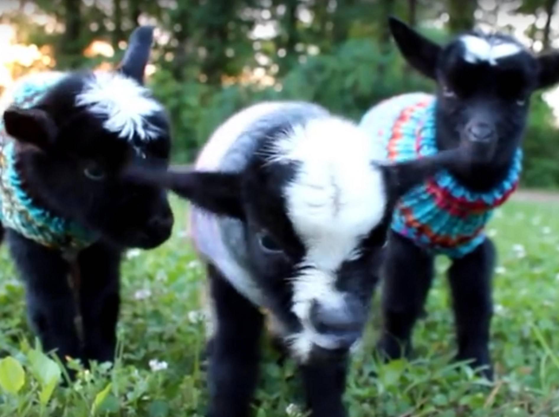 Neuigierig blinzeln die drei süßen Zicklein in die Kamera – YouTube / Lil'Critterz