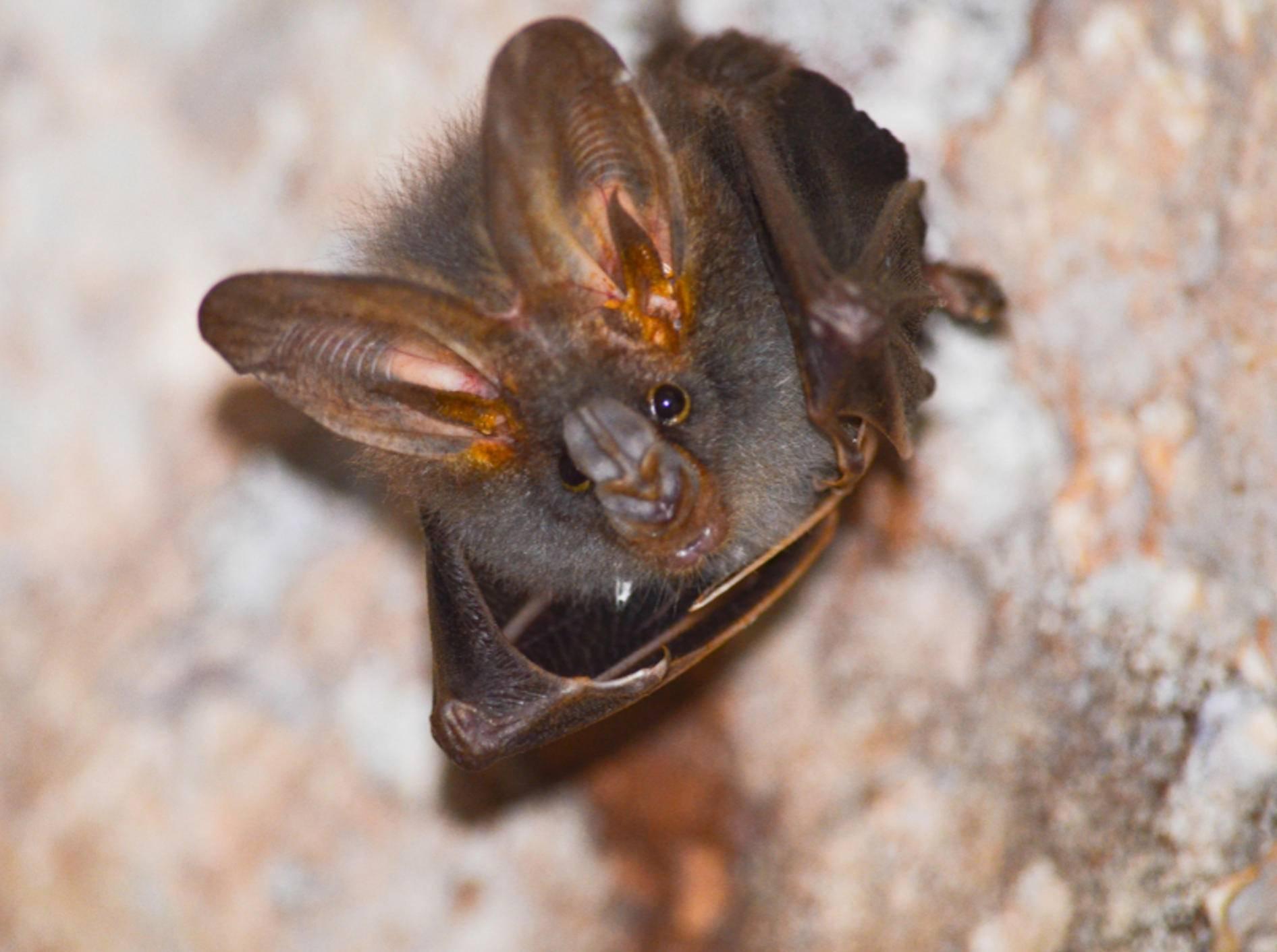 """Eigentlich """"übernachten"""" Fledermäuse tagsüber in Höhlen und nicht in Wohnhäusern – Shutterstock / Visanuwit thongon"""