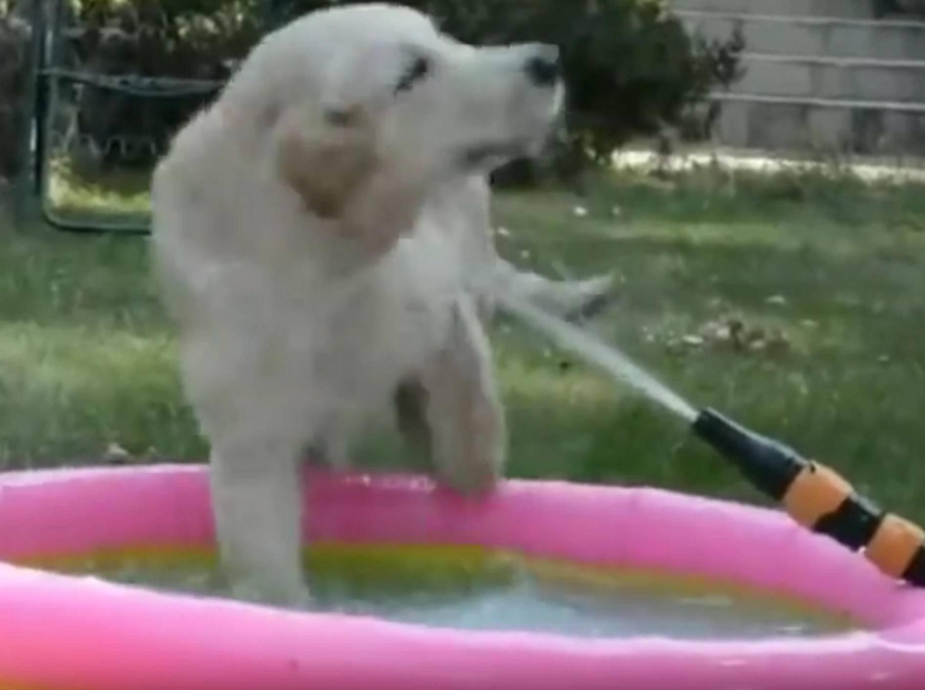 Der kleine Golden Retriever hat einen neuen Freund in diesem spannenden Wasserstrahl gefunden – YouTube / Rumble Viral